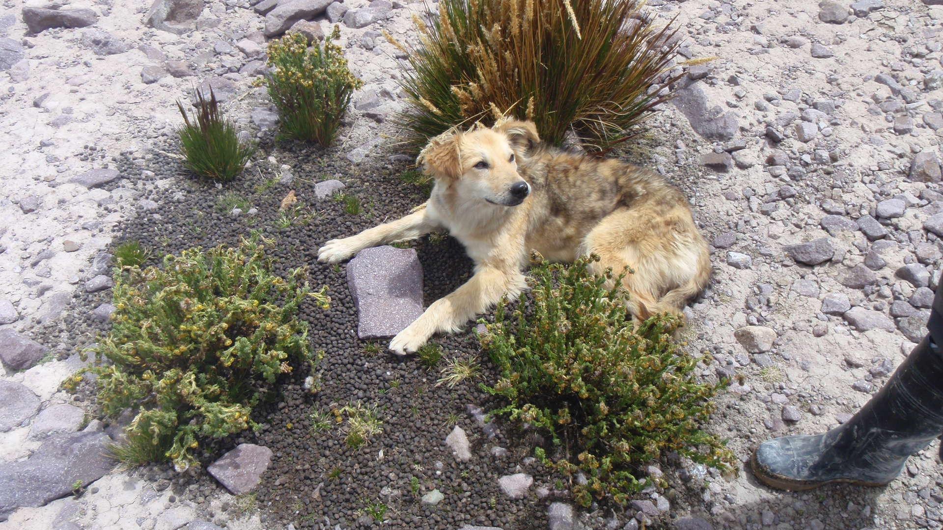 Plant a garden under a glacier - CU Boulder scientists replicate a decades-old vicuña experiment