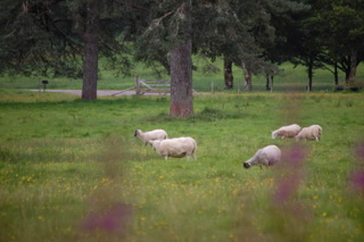 sheep grazing in a pasture outside of inverary Scotland