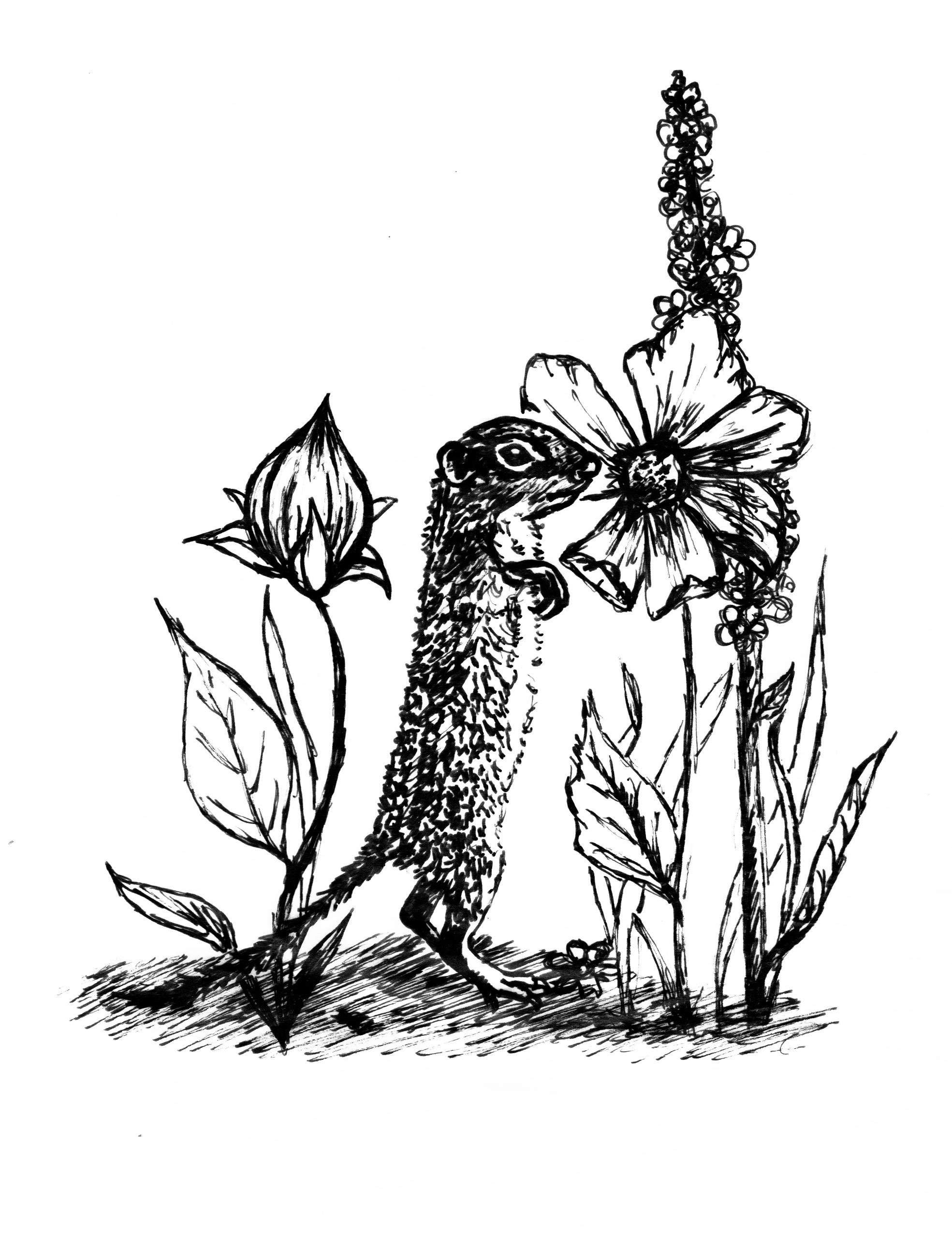 Hope-Thier-Thirteen-lined-Ground-Squirrel.jpg
