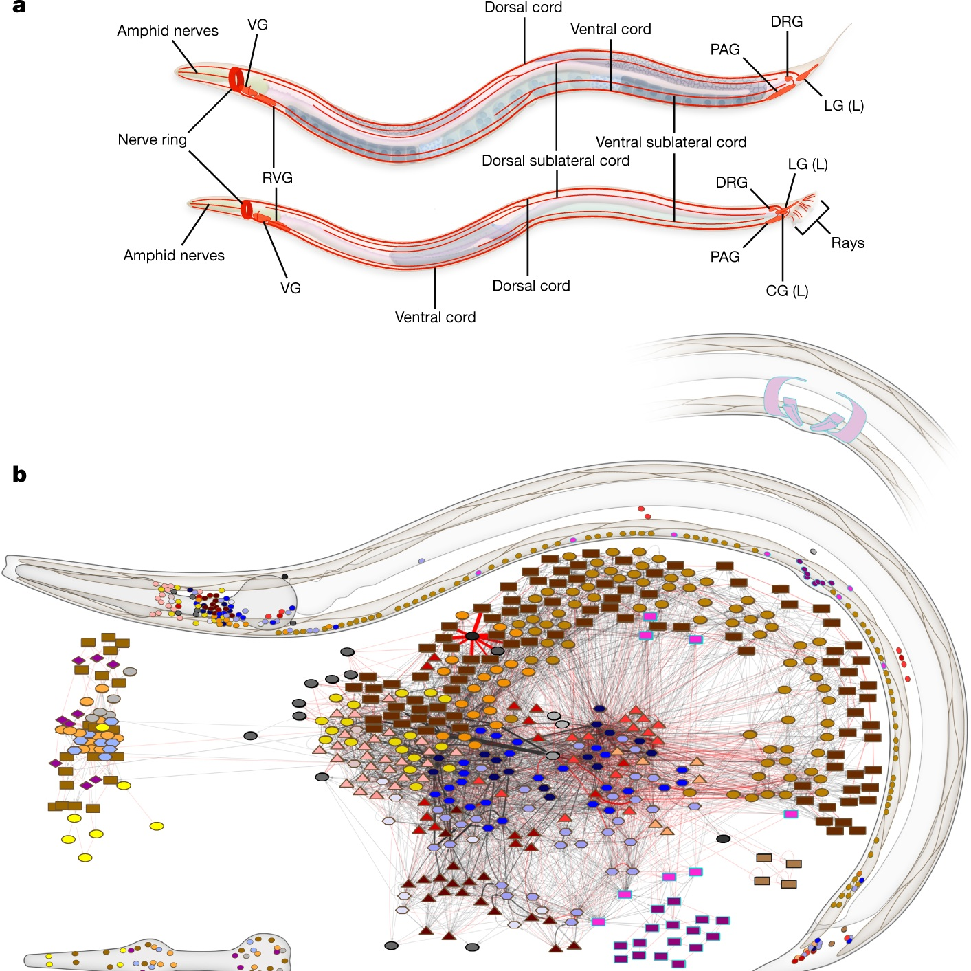 Optimizing Wireless and Wired Neural Connections in C. Elegans