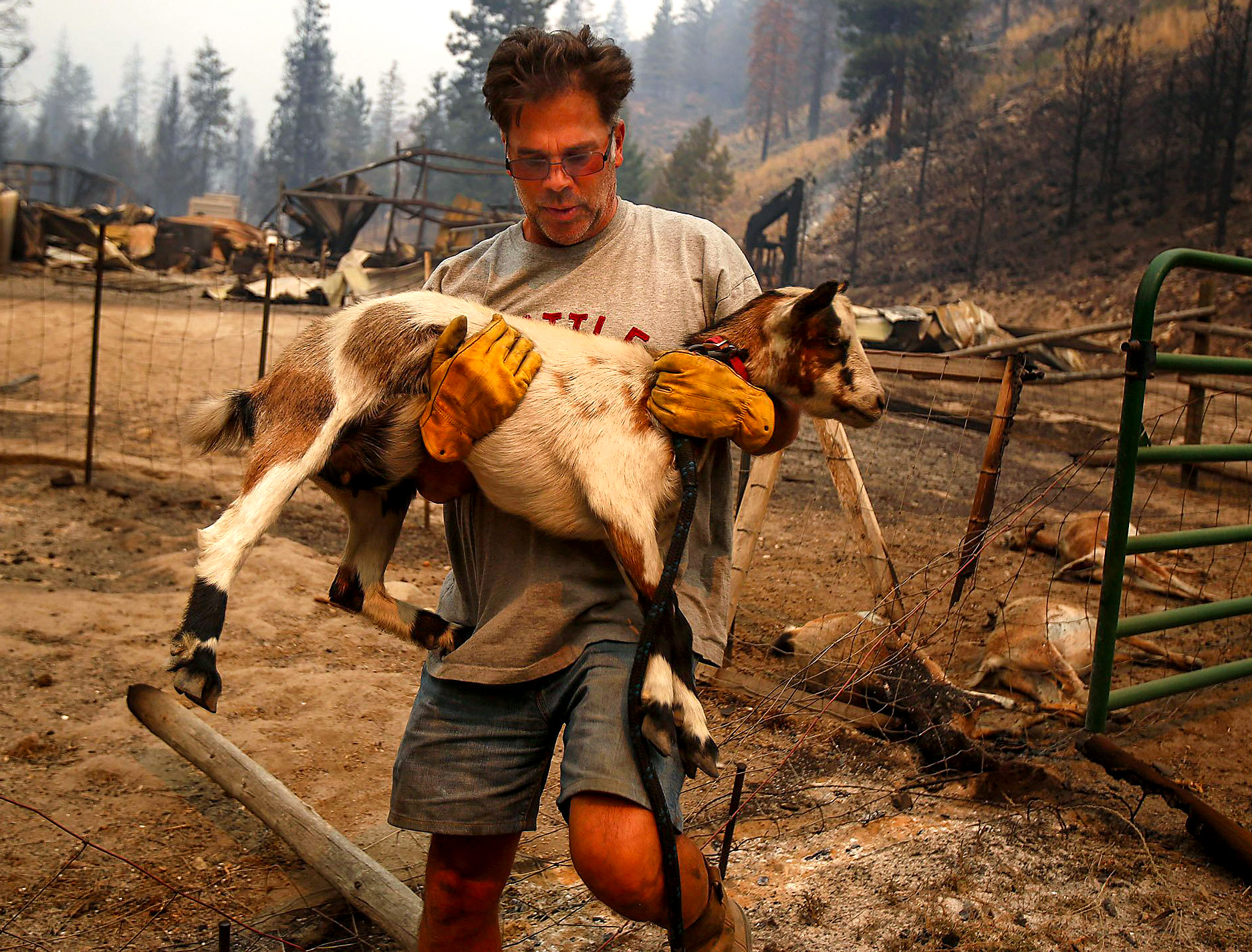 Todd Quinn grabs his only surviving goat from the firestorm that swept through his ranch Friday night, on Saturday, Aug. 15, 2015. Composed of five massive fires, the Okanogan Complex became the second largest wildfire in state history, burning over 304,782 acres. (Sy Bean / The Seattle Times)