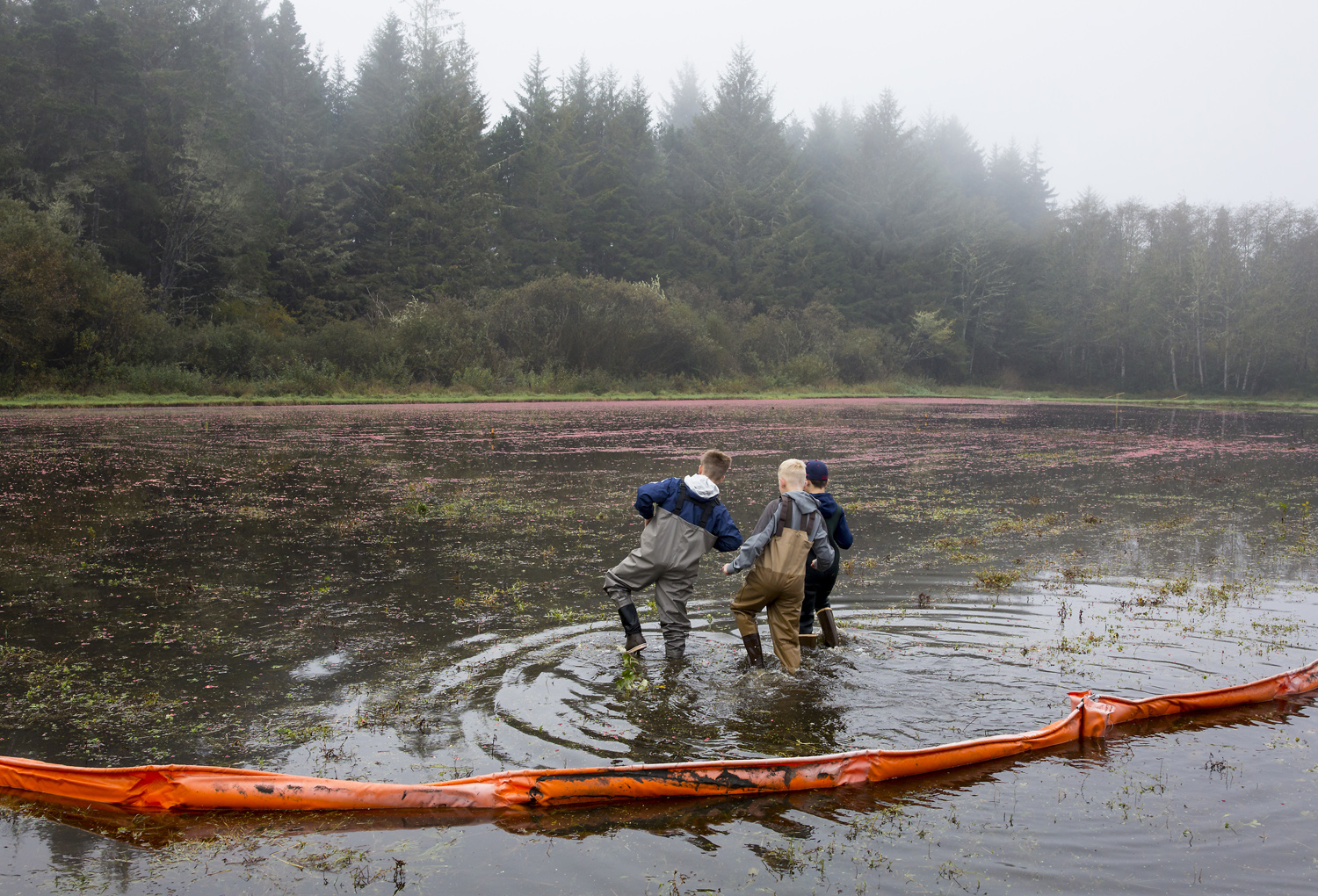 Young volunteers wade into one of the cranberry bogs