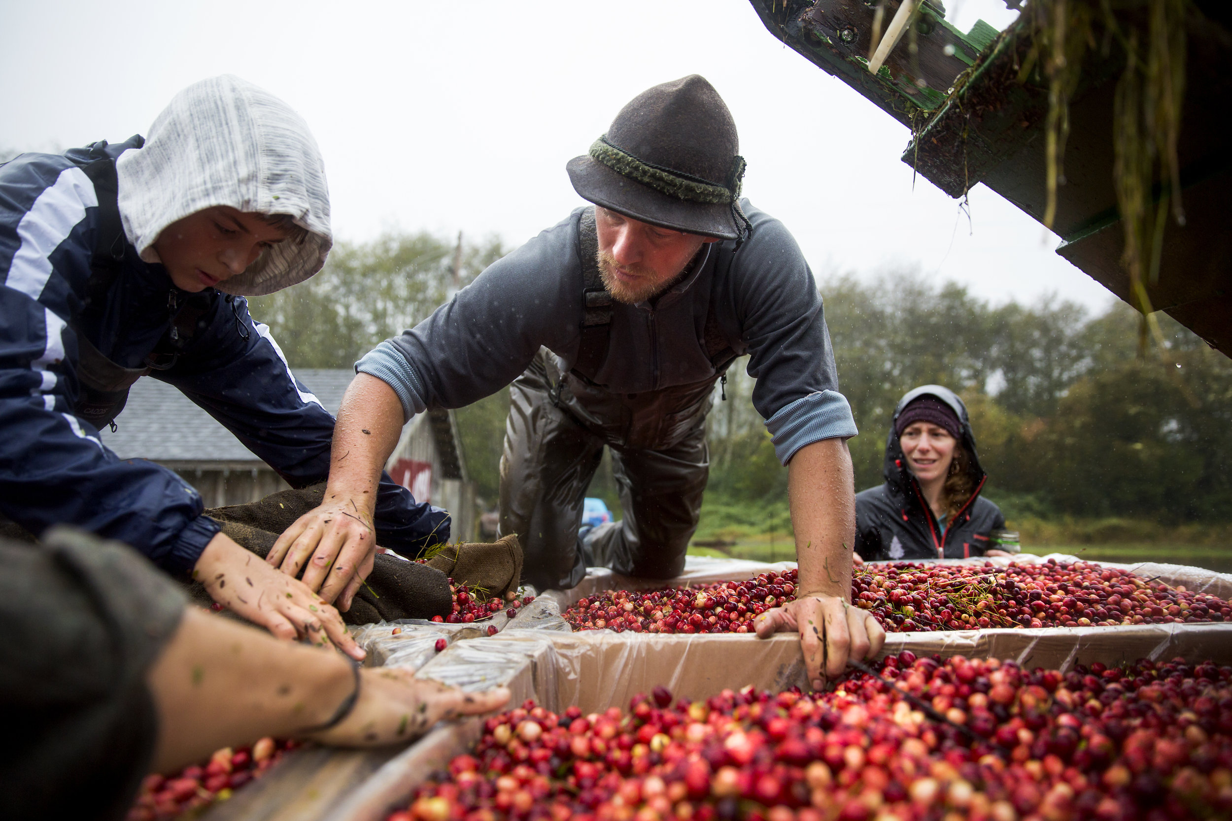 Jared Oakes, co-owner of Starvation Alley Farms, pushes stray cranberries into their boxes after harvesting the second bog of the day in Long Beach. Although the yield of organic cranberry bogs are lower than conventional farming, the company reduced it's synthetic chemical footprint by 100 pounds per bog a year. (Sy Bean / Seattle Refined)