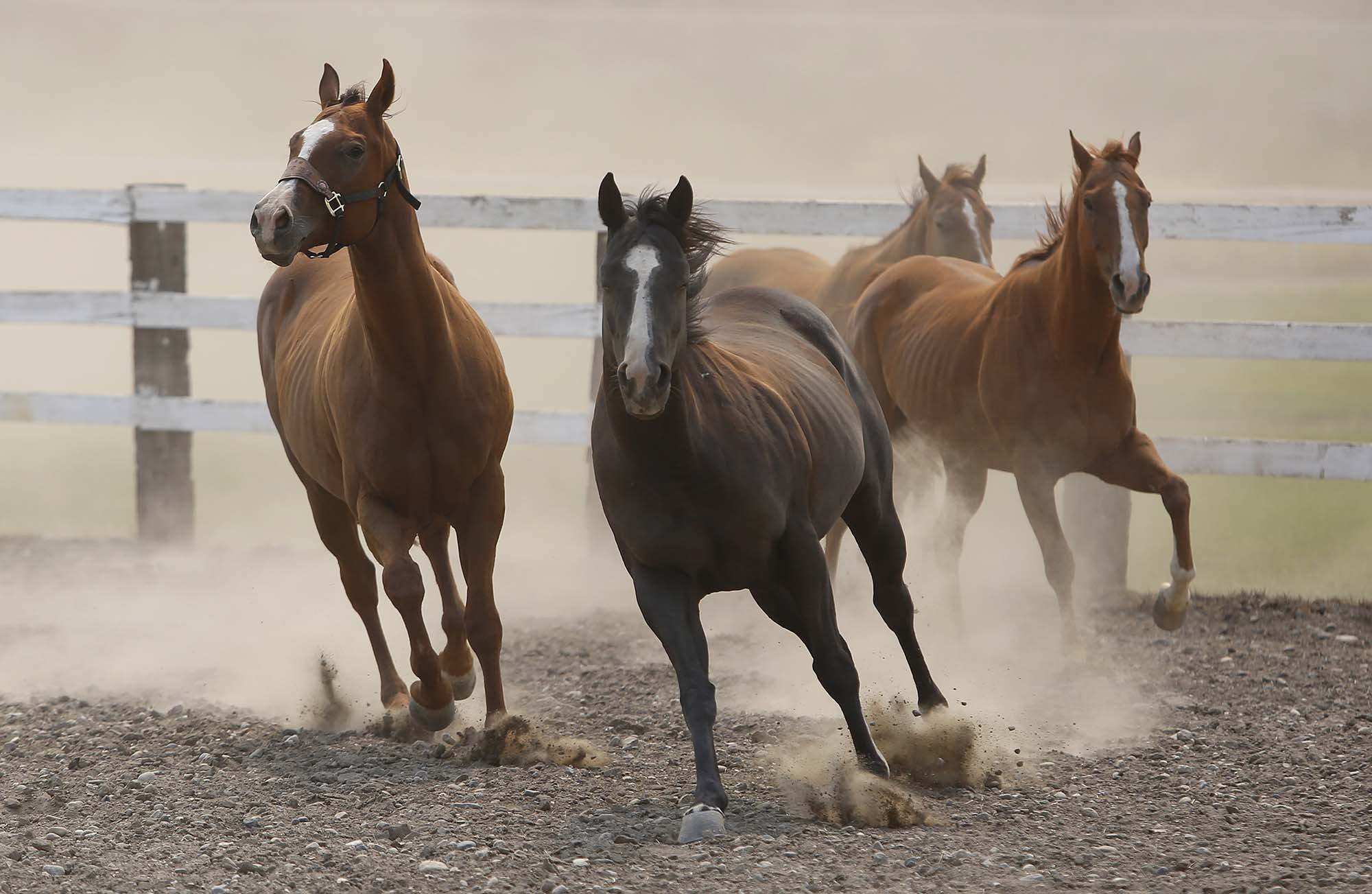The Marchand family's horses get some exercise after spending three days in a pen after having been moved to the Okanogan County Fair Grounds last Wednesday because of wildfire danger in Okanogan, Wash., Friday, Aug. 21, 2015.