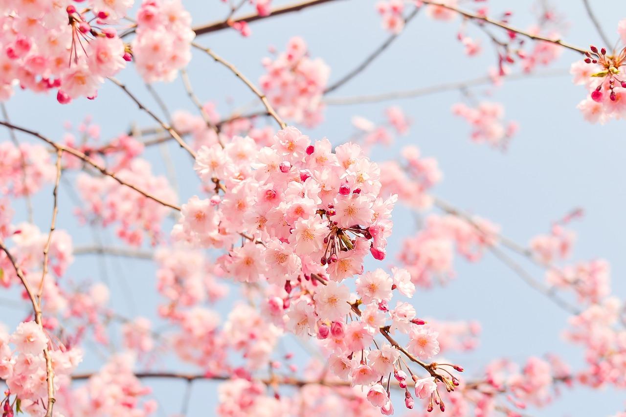 sakura spring cherry blossom ichigoichielove.jpg