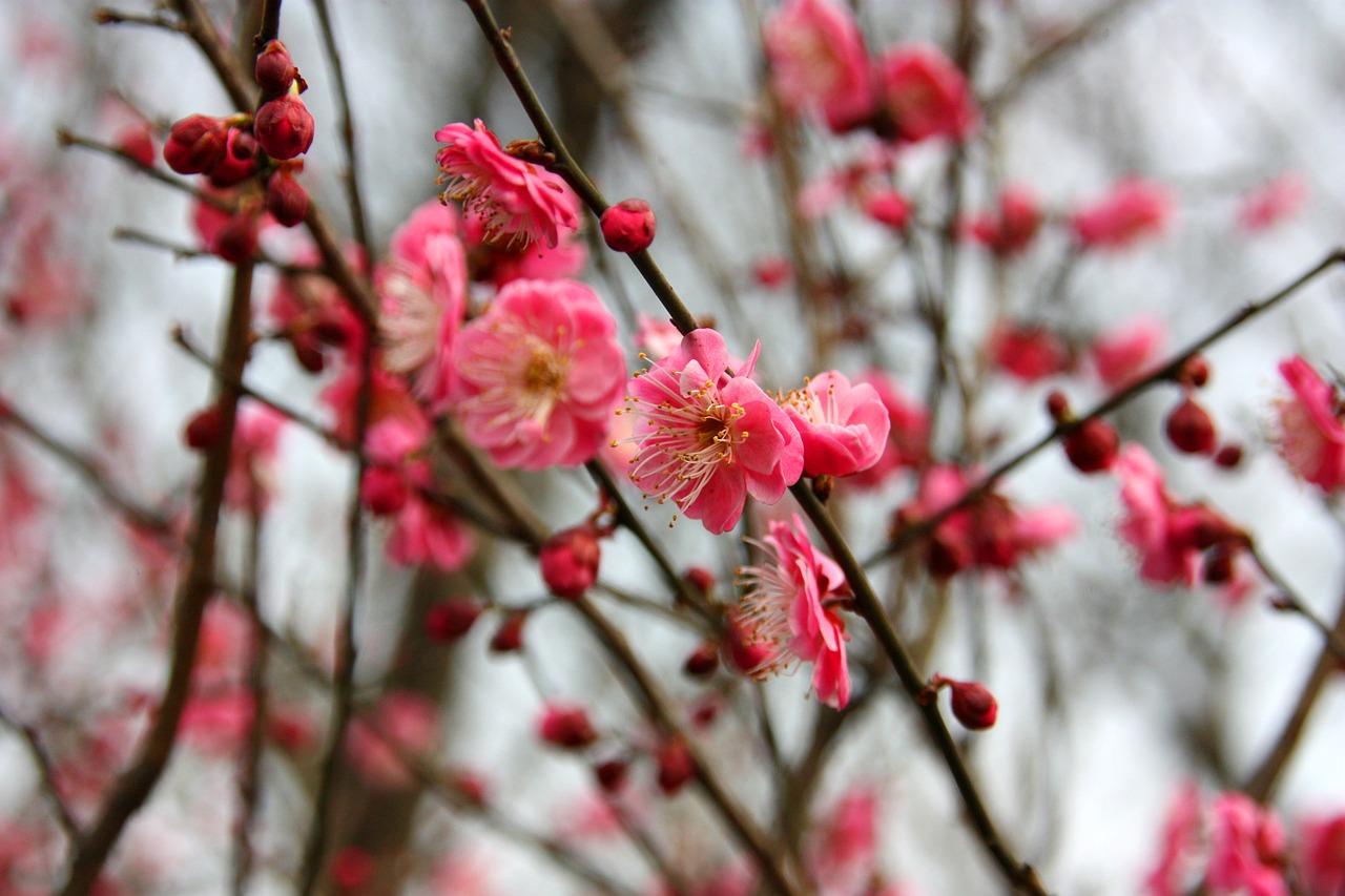 plum blossoms ichigoichielove.jpg