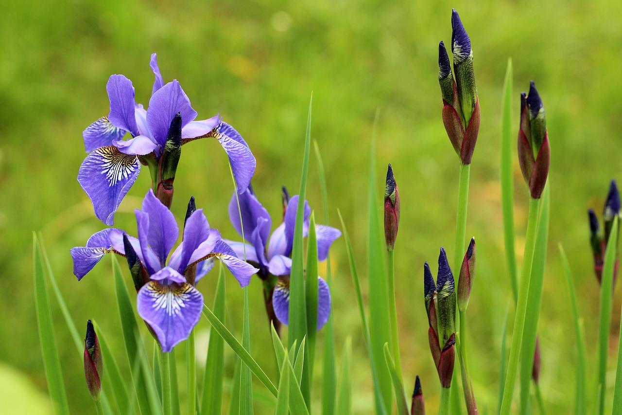 irises in tokyo ichigoichielove.jpg