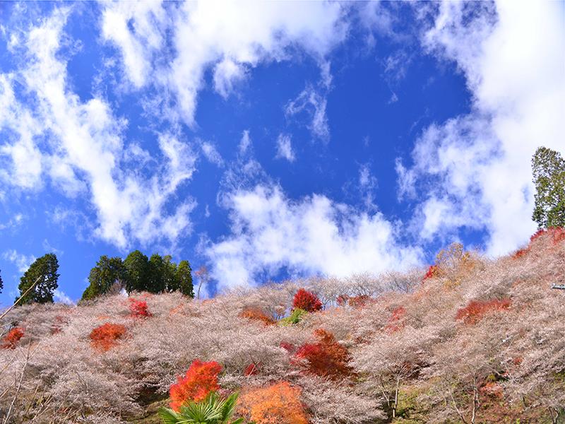 sakura with fall foliage ichigoichielove.png