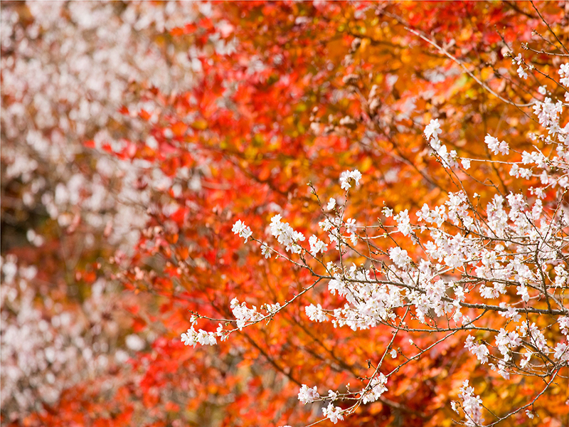 fall foliage and cherry ichigoichielove.png