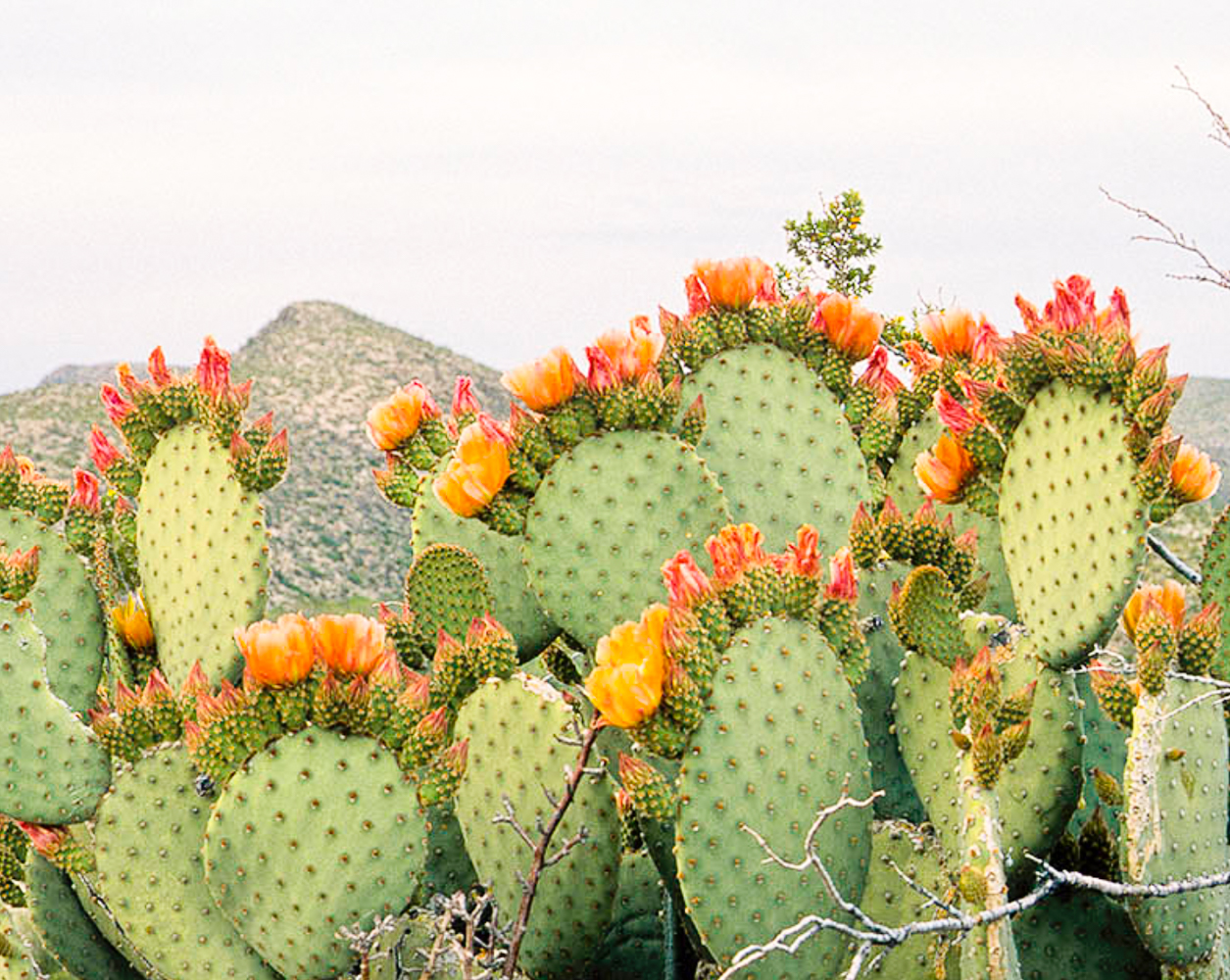 Prickly pear seed oil:the highest level of vitamin e than any plant oil.