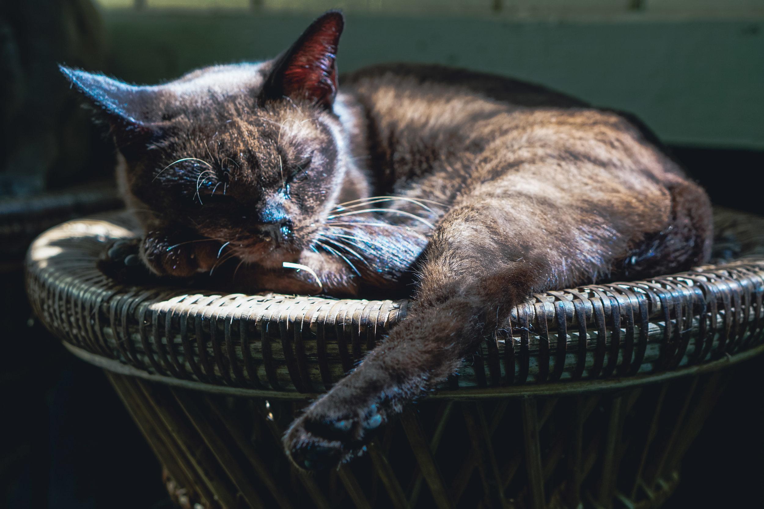 Myanmar Cats