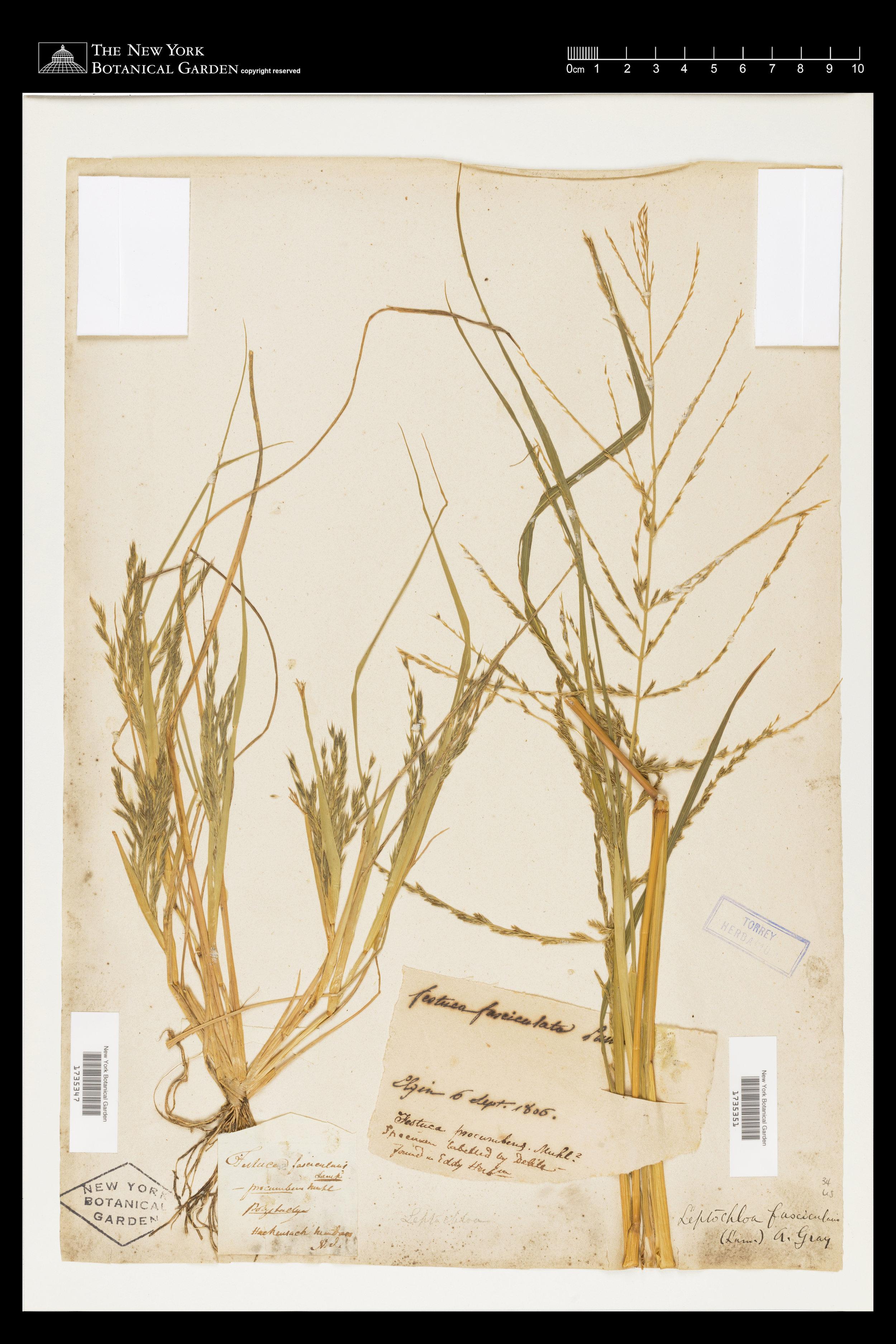 Specimen from Elgin Botanic Garden (1806), held by the New York Botanical Garden