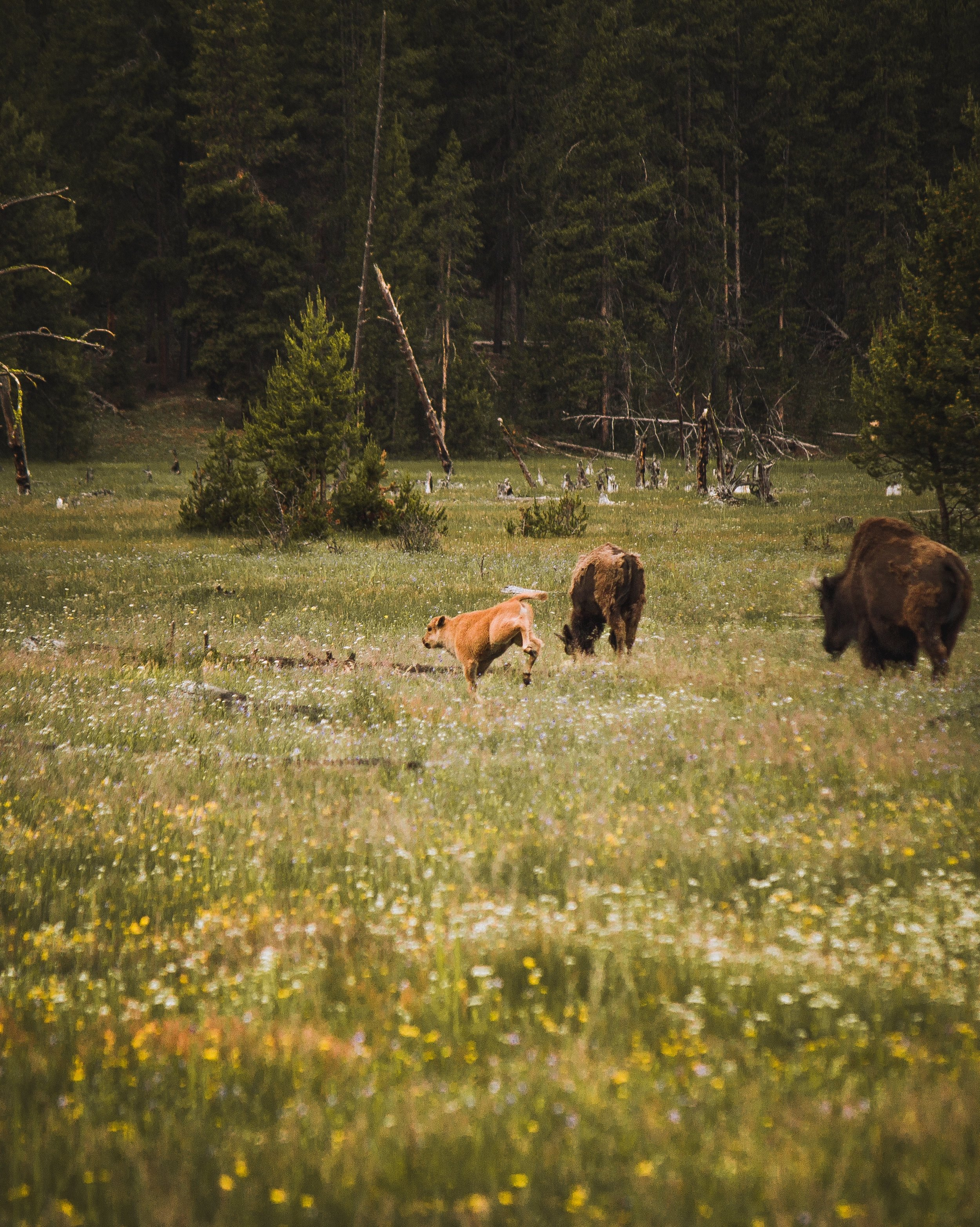 Beautiful wildlife photo: one of america's top national parks - yellowstone.