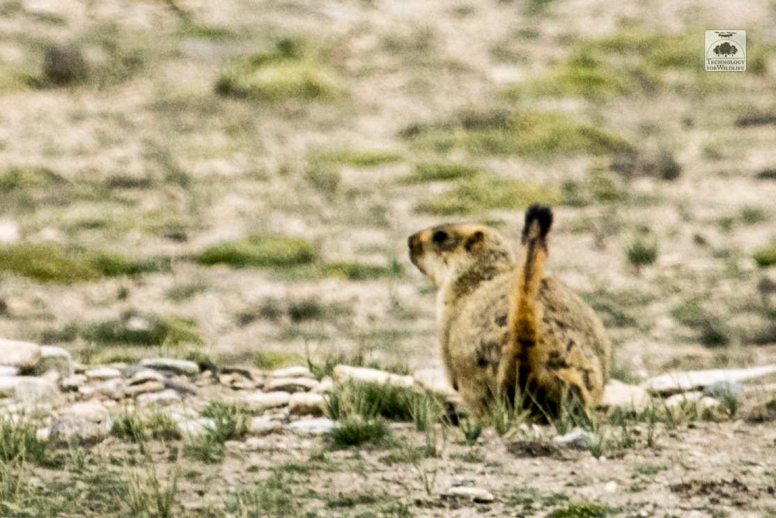 A marmot bounding away from the camera. Photo: Shashank Srinivasan | 2019
