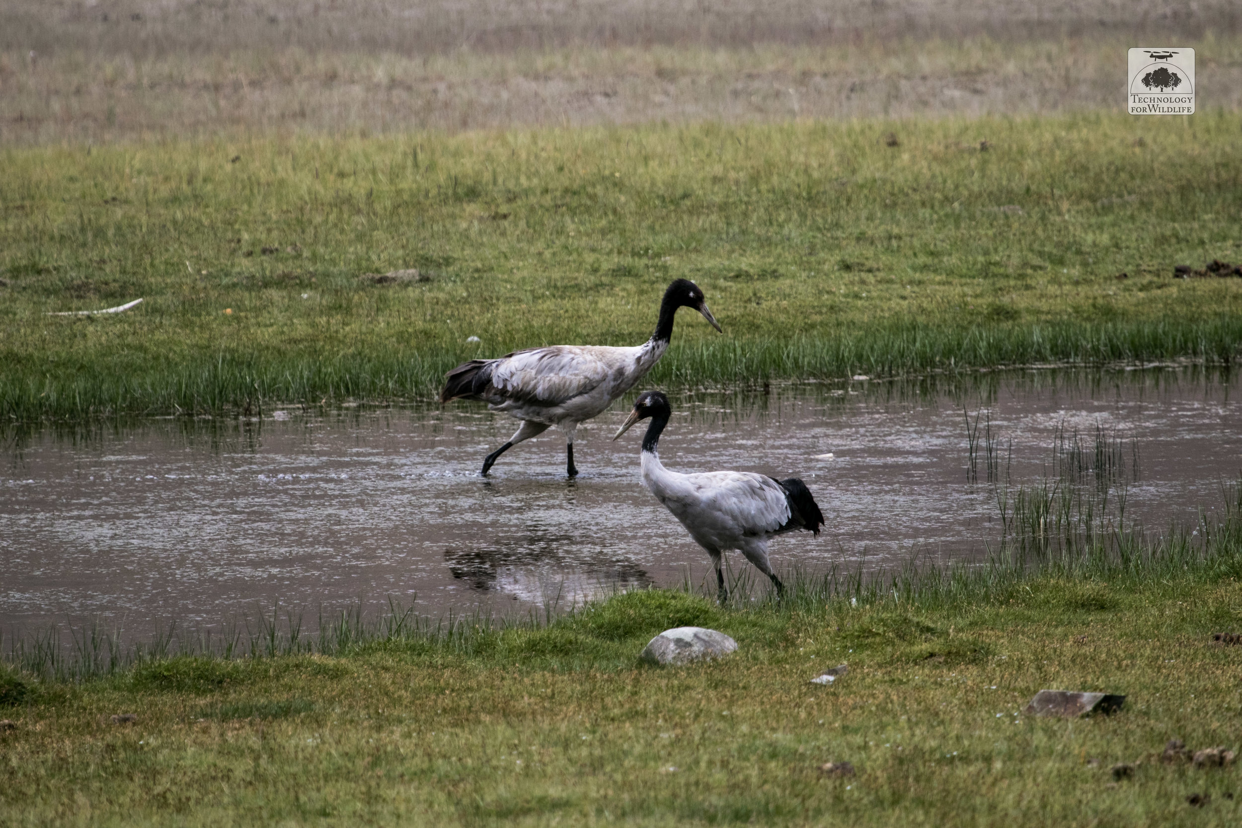 The black-necked crane ( Grus nigricollis ), revered in both Arunachal Pradesh and Ladakh. Photo: Shashank Srinivasan | 2017