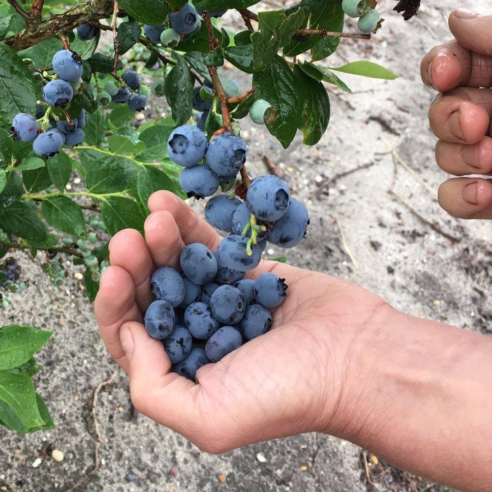 bandb bluberries.jpg