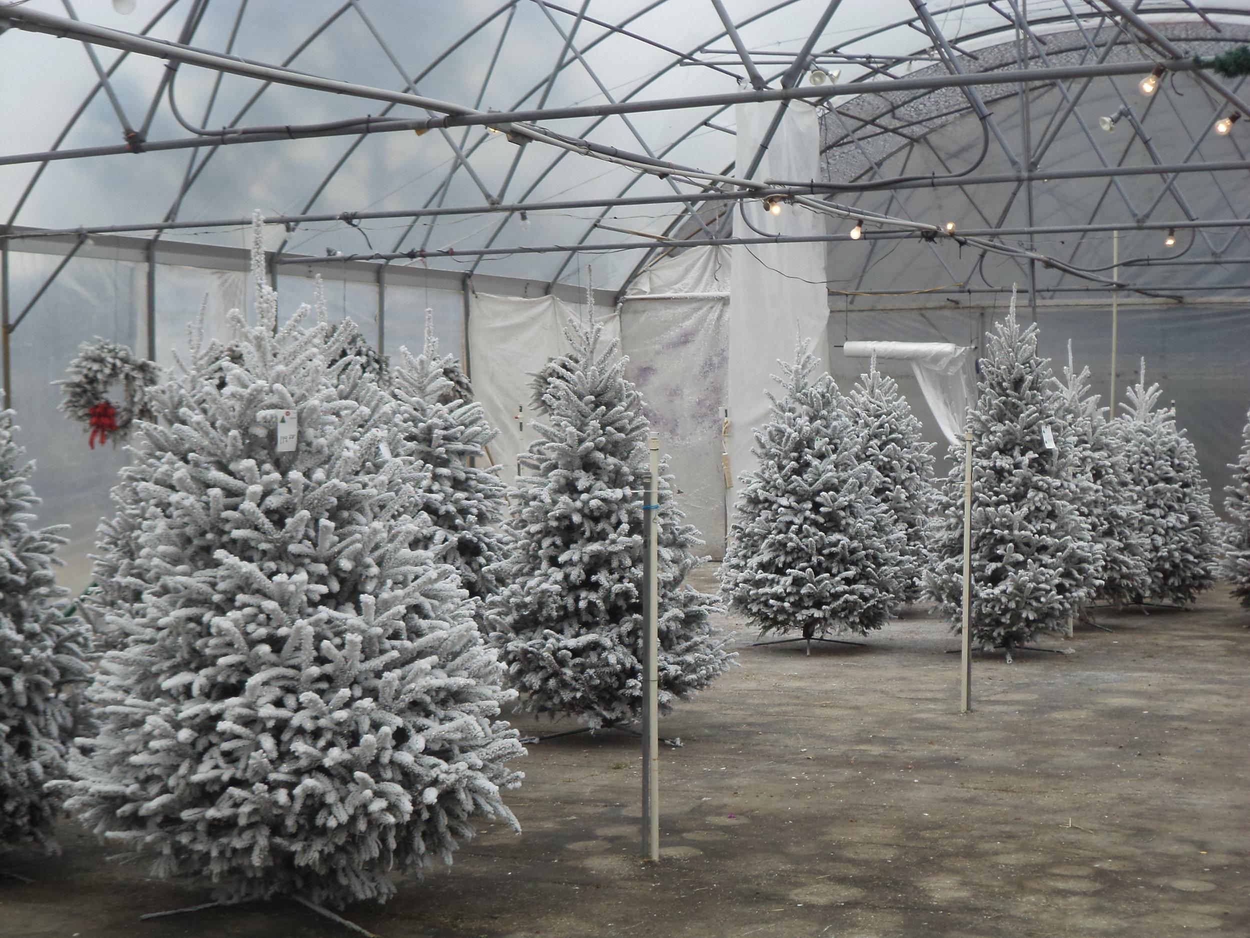Christmass Tree 1.JPG