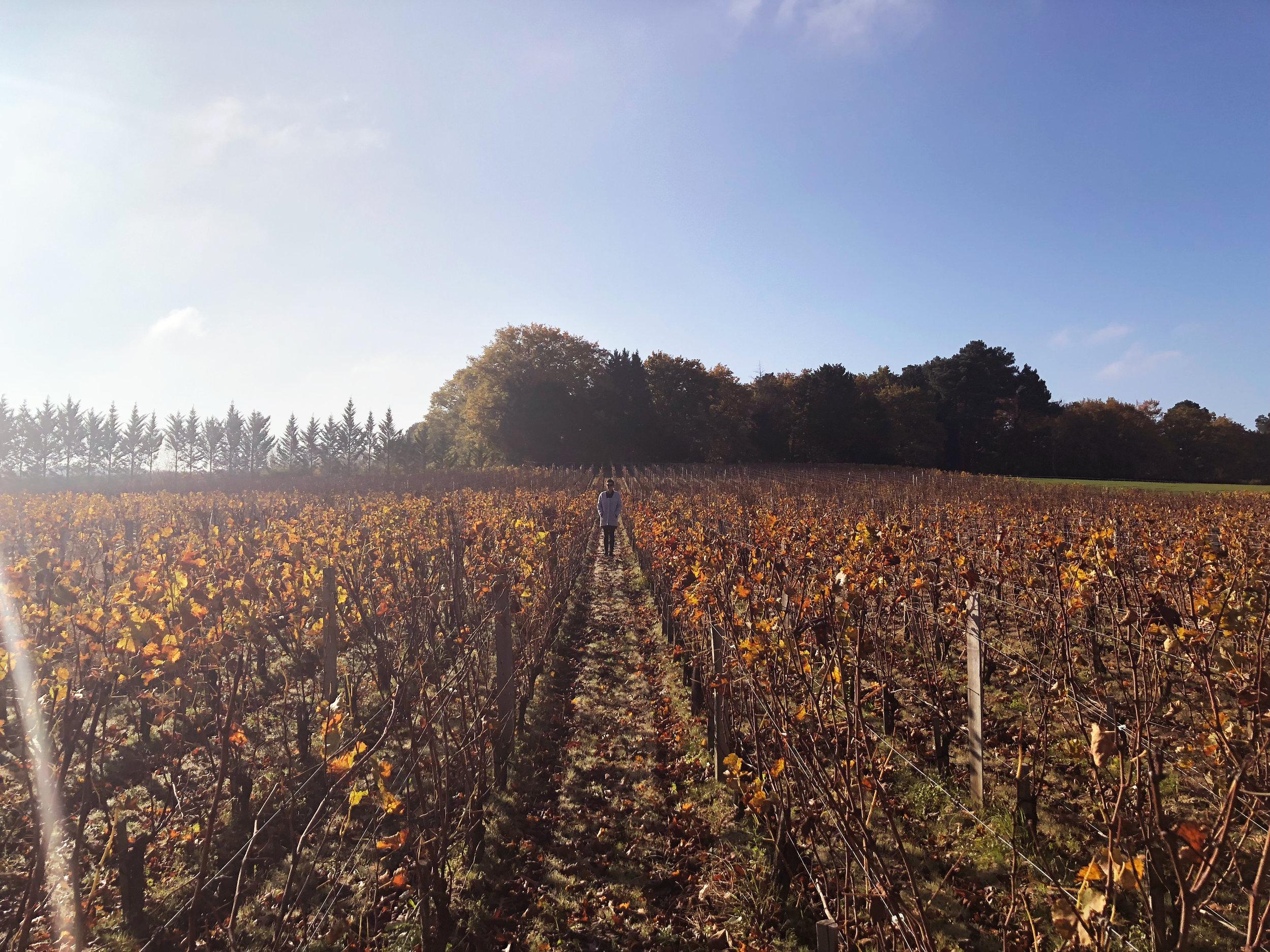 vineyards in bordeaux.jpg