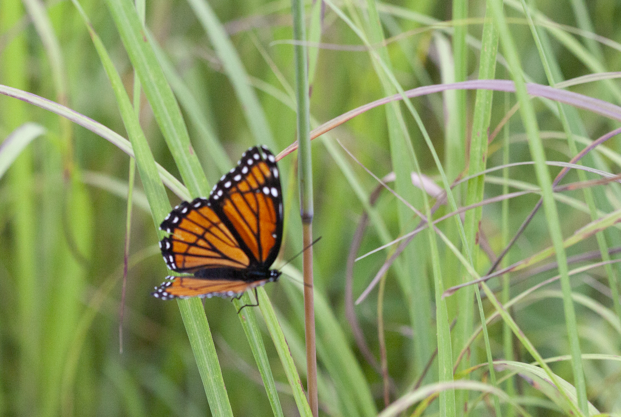viceroy butterfly, butterflies and moths lay low in the grasses