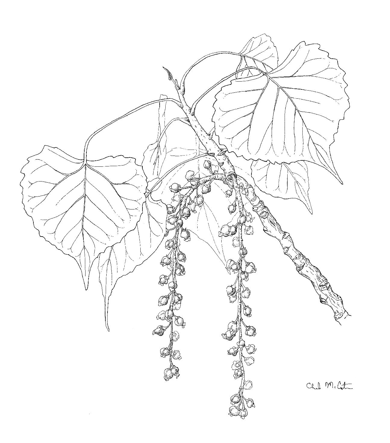 Populus Leaves Seeds