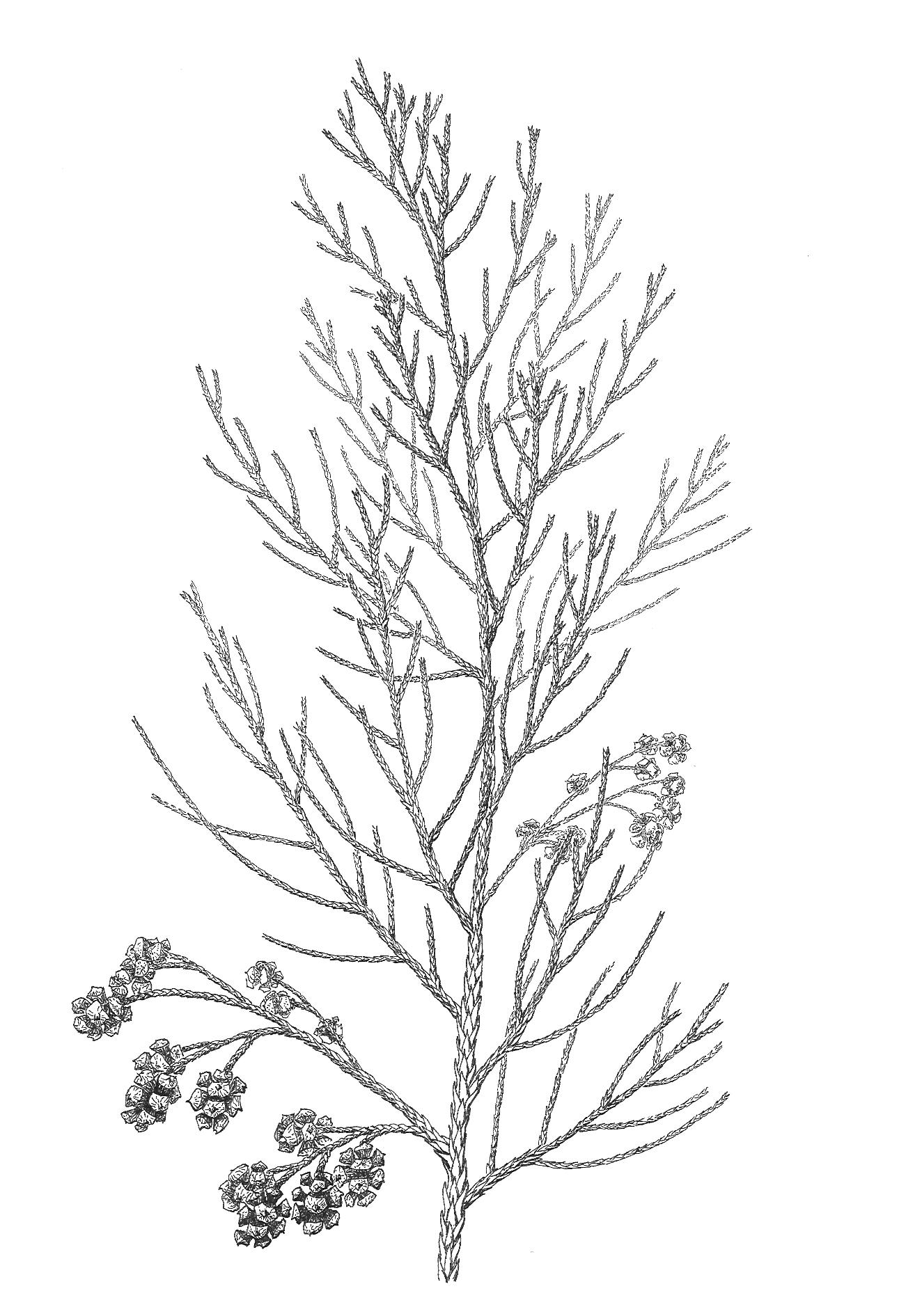 Sphenolepsis