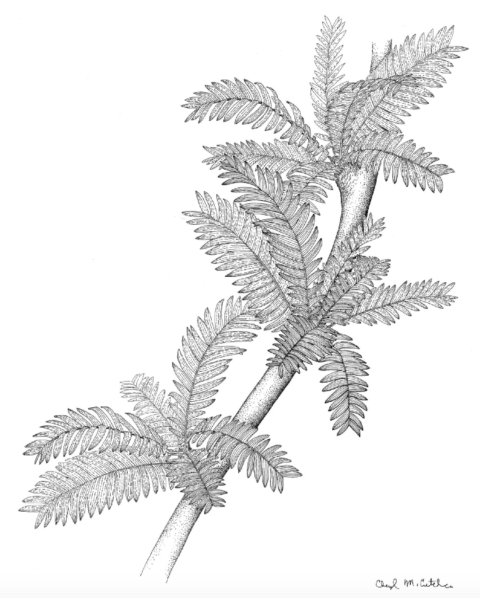 Pterophyllum