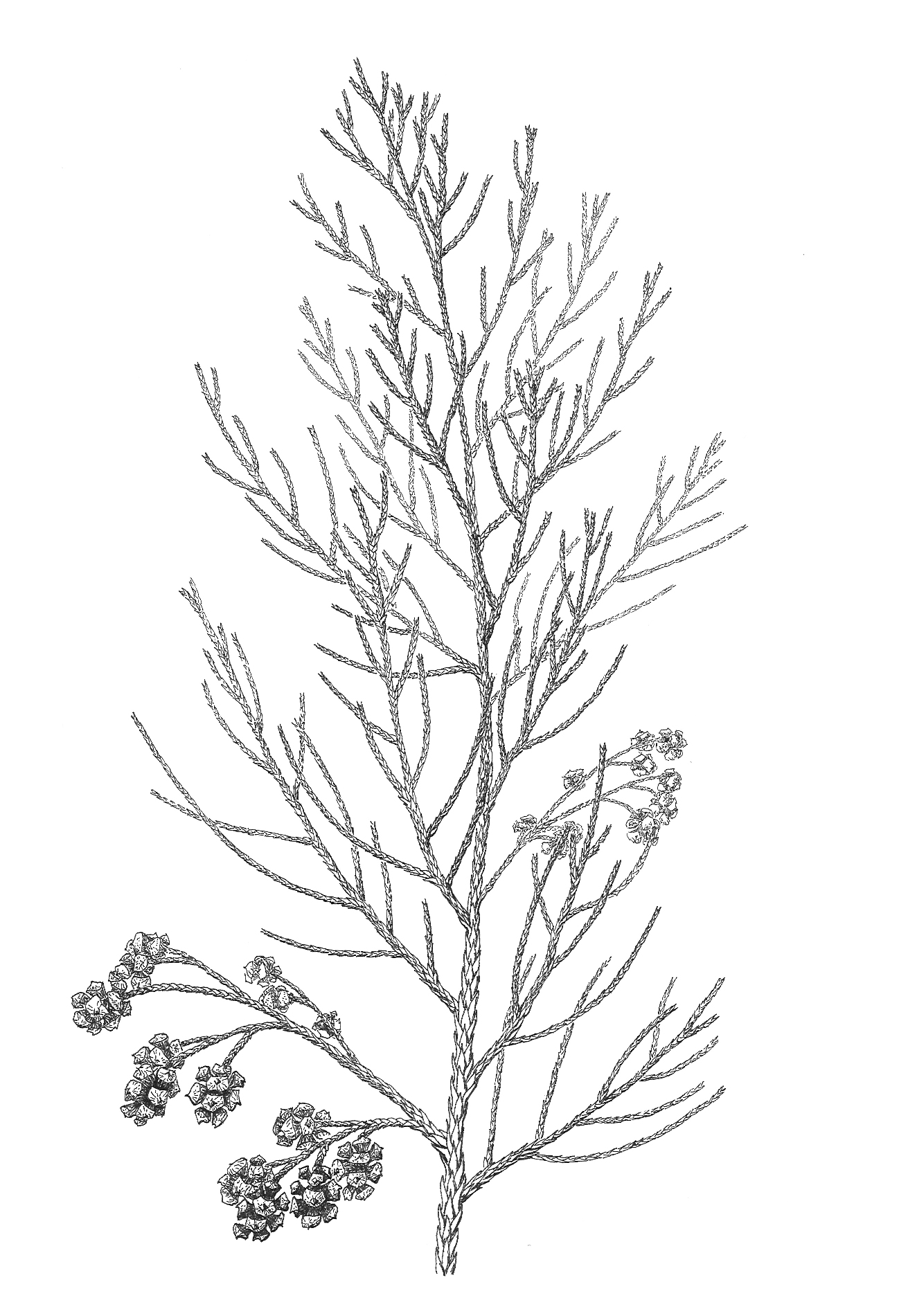 Sphenolepis
