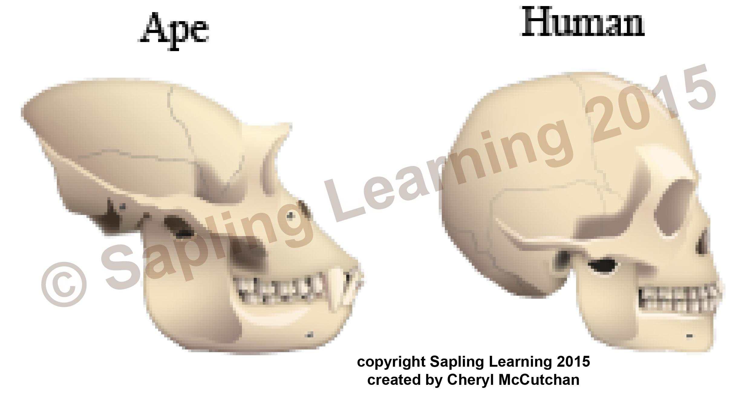 Ape Human skulls