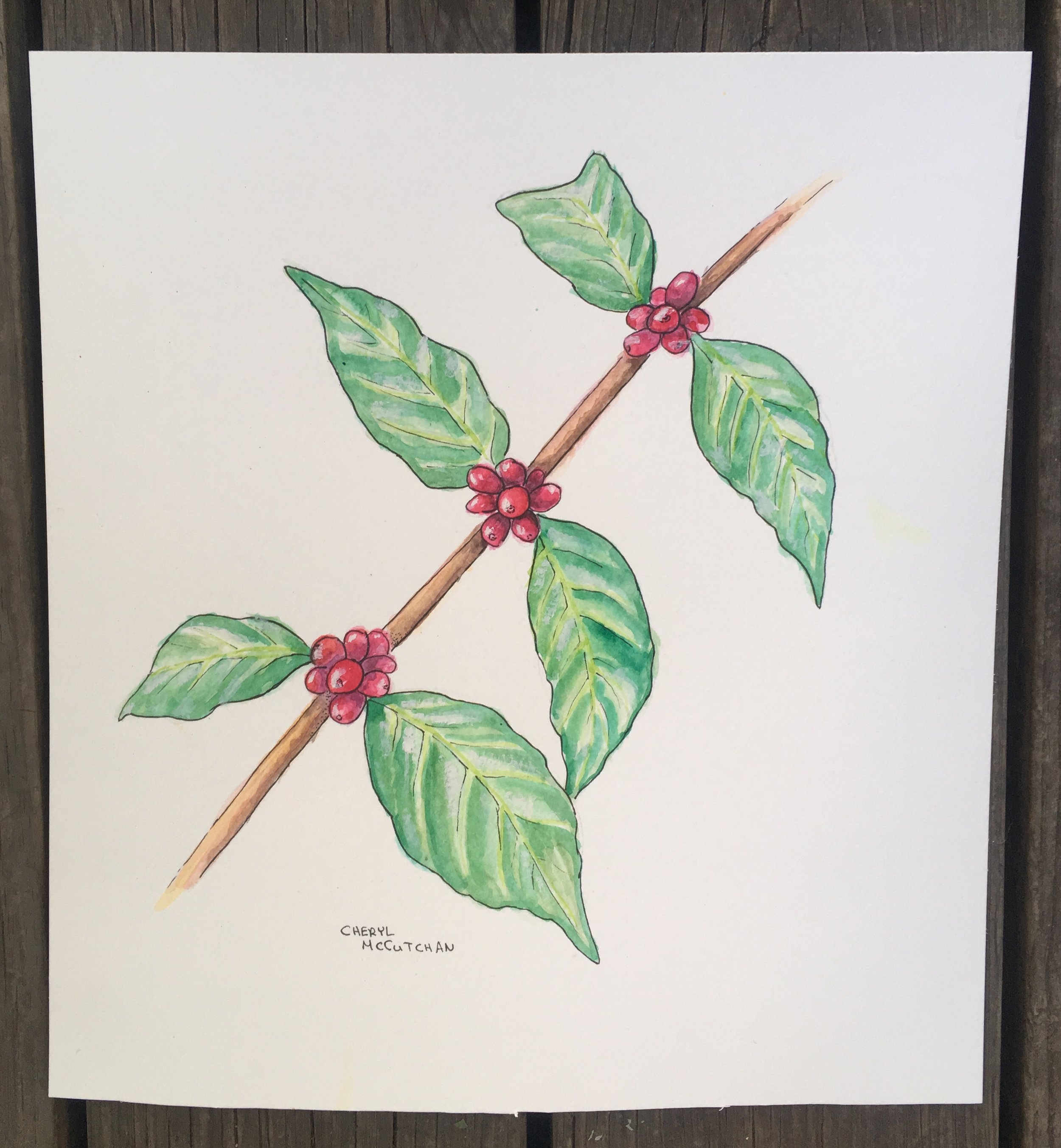 Coffee plant. Made with watercolor and ink.
