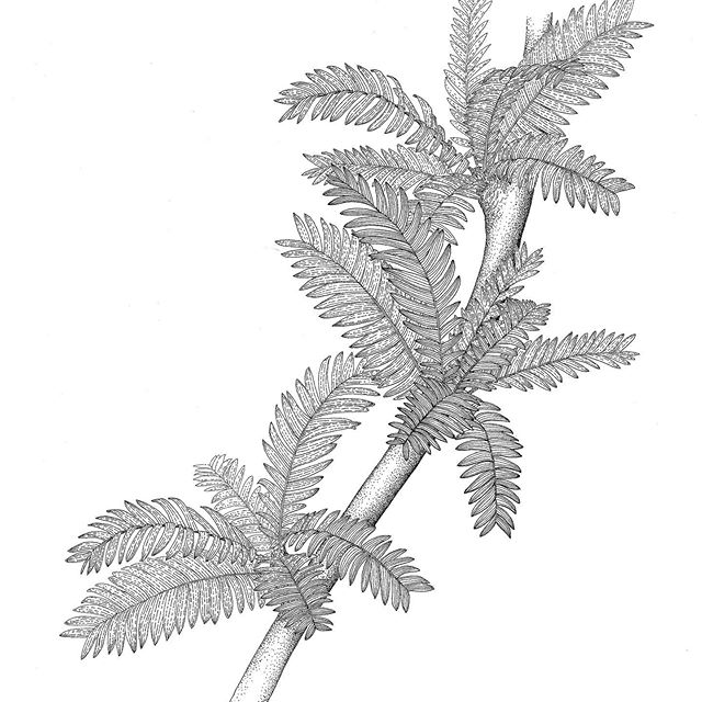 Paleobotanical Reconstructions in Pen and Ink Part I. . This is one of my first ever projects as a scientific illustrator. I got to work with the delightful @ian_digs_ from the @denvermuseumns. A paleobotanical reconstruction uses fossil evidence, botanical know how, and some guesswork to rebuild an extinct plant. . This beauty is Pterophyllum rectangulare. The fossil evidence included a handful of leaves. Now, it would be stupendous if those leaves were actually attached to a stem so we could see their phyllotaxy – a fancy botanical term for leaf arrangement on the stem. Some plants like mints and basil have leaves that occur in pairs on the opposite sides of the stem; many others have leaves arranged in spirals around the stem. The leaves can also be densely packed towards the tip of the stem or spread along its length. Because we didn't know how these leaves were arranged on a stem, Ian and his advisor had to do some botanical detective work looking at related species and then just take their best guess. . In the end, the leaves were arranged tightly in a spiral on the short stems. The scientists thought this might have been a vining species growing up some of the larger plants in the forest.
