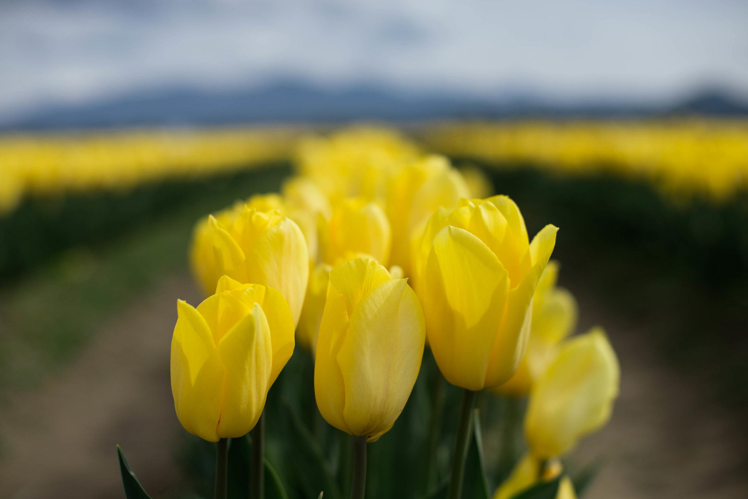 Tulips-7.jpg