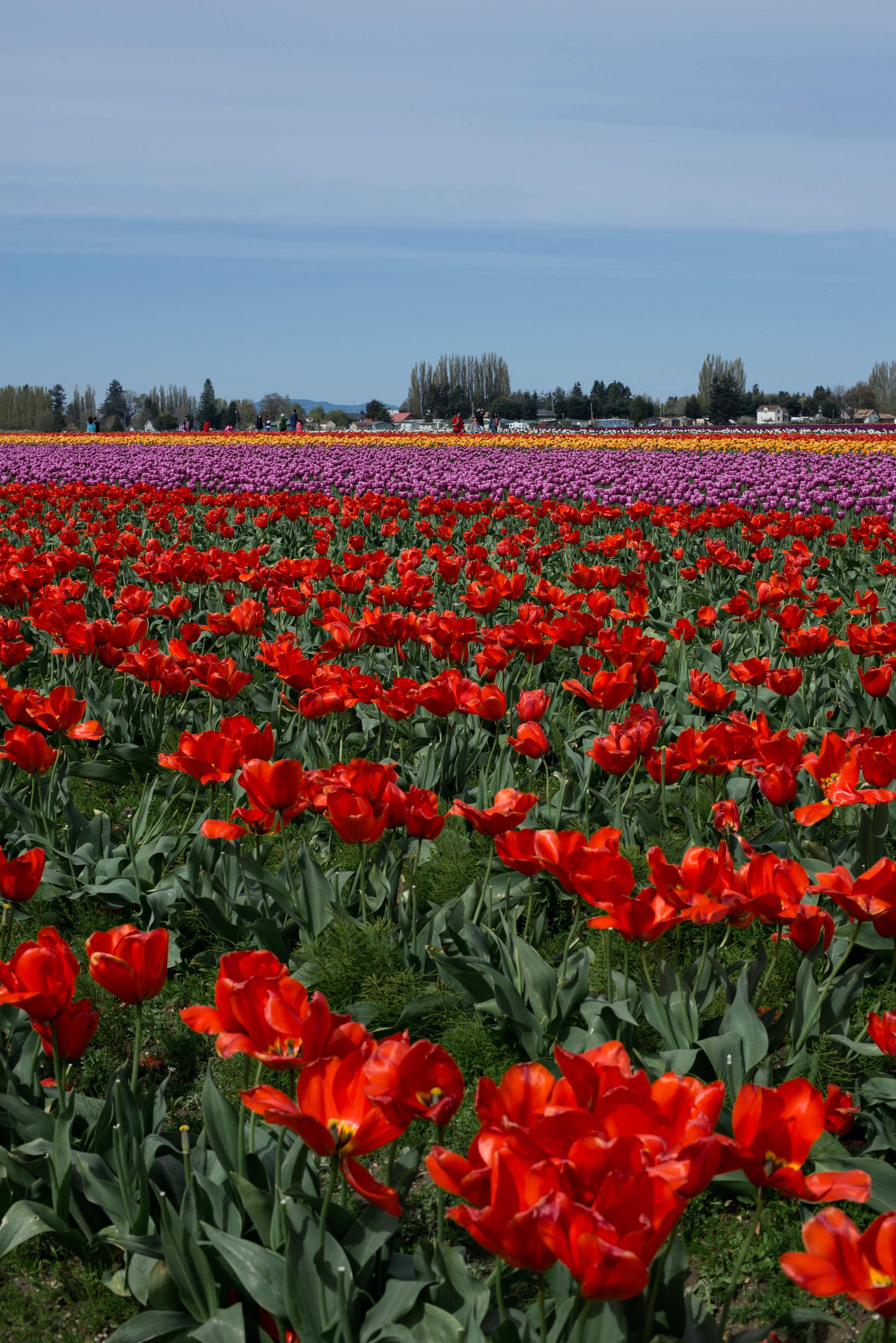 Tulips-21.jpg