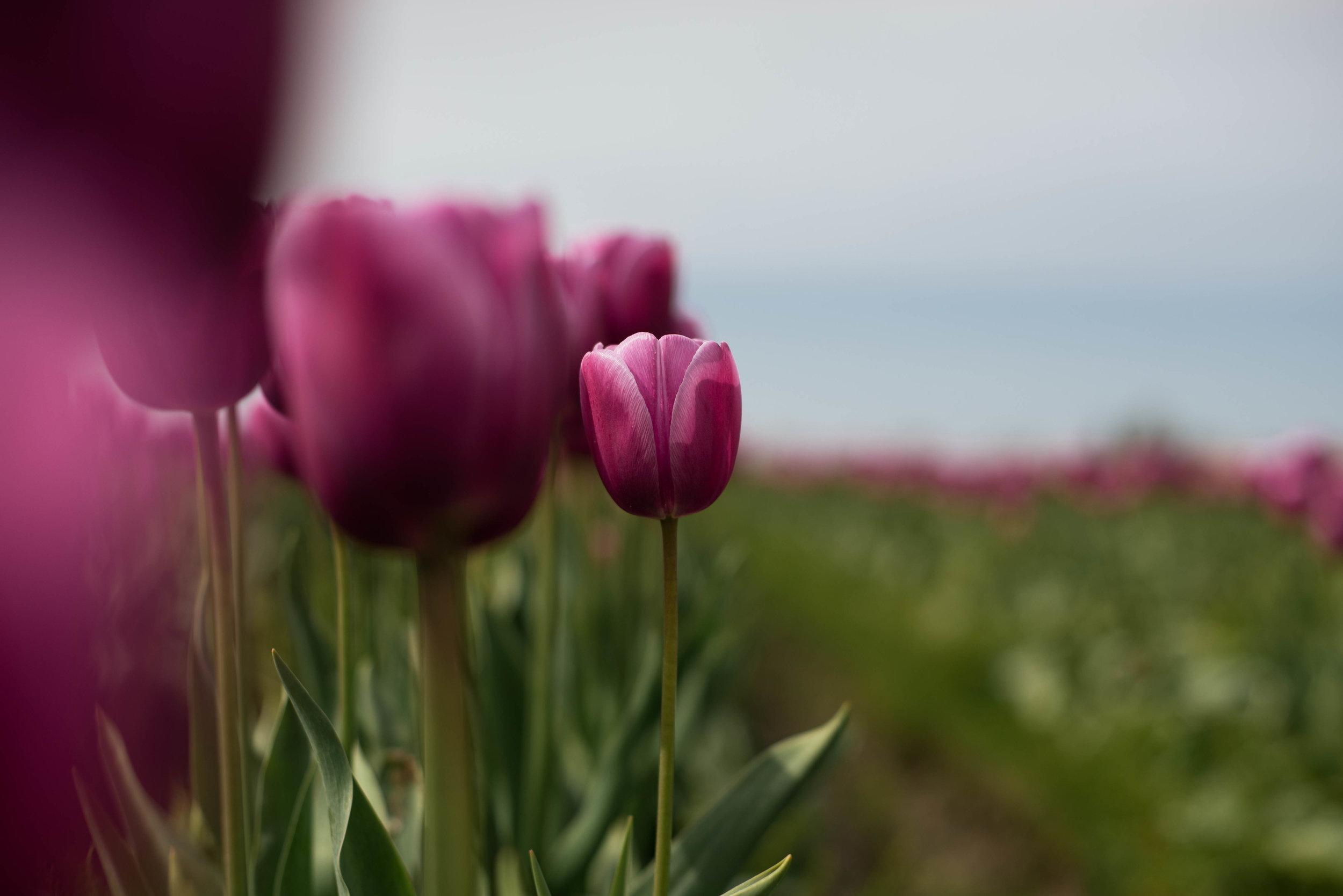 Tulips-23.jpg