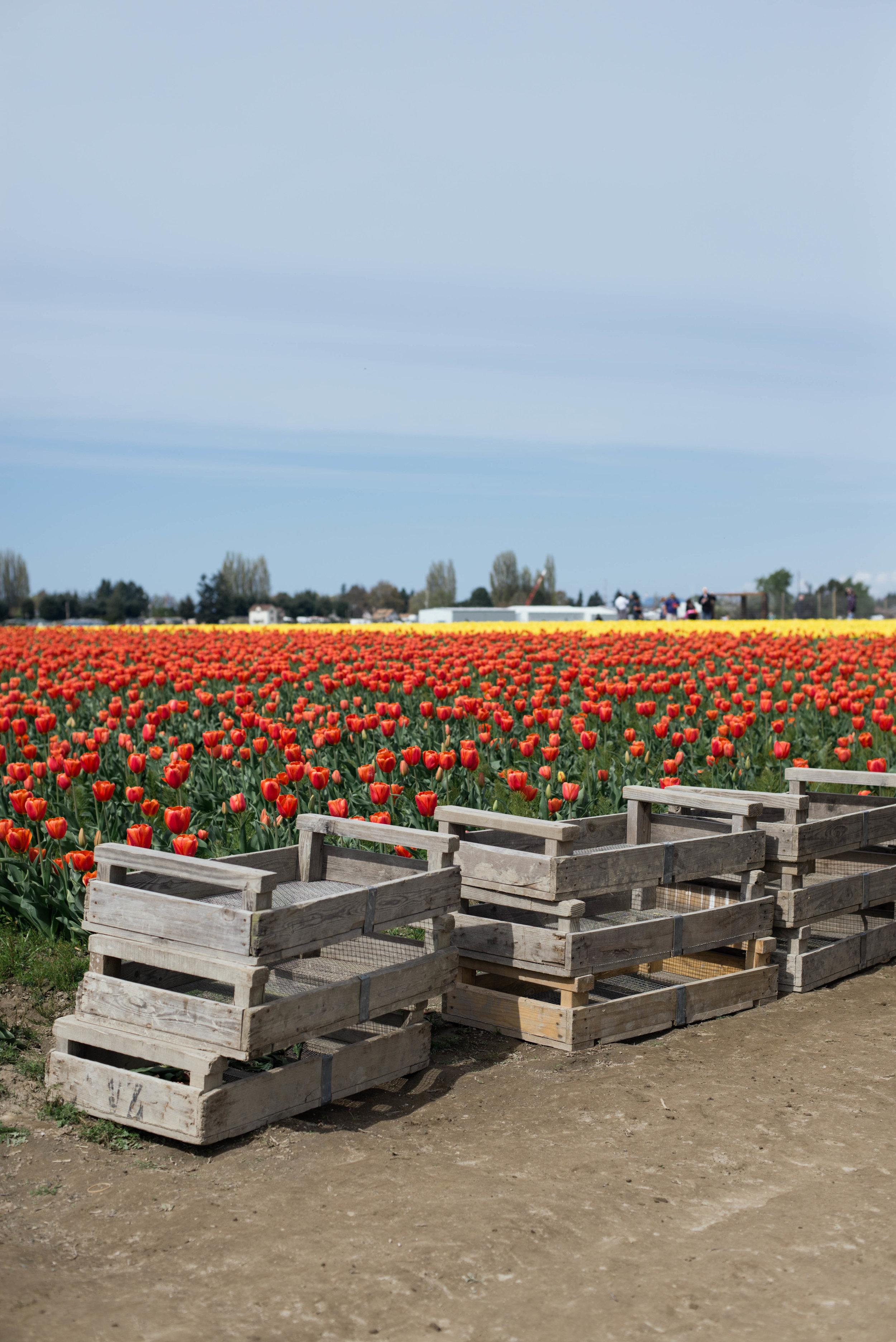 Tulips-34.jpg