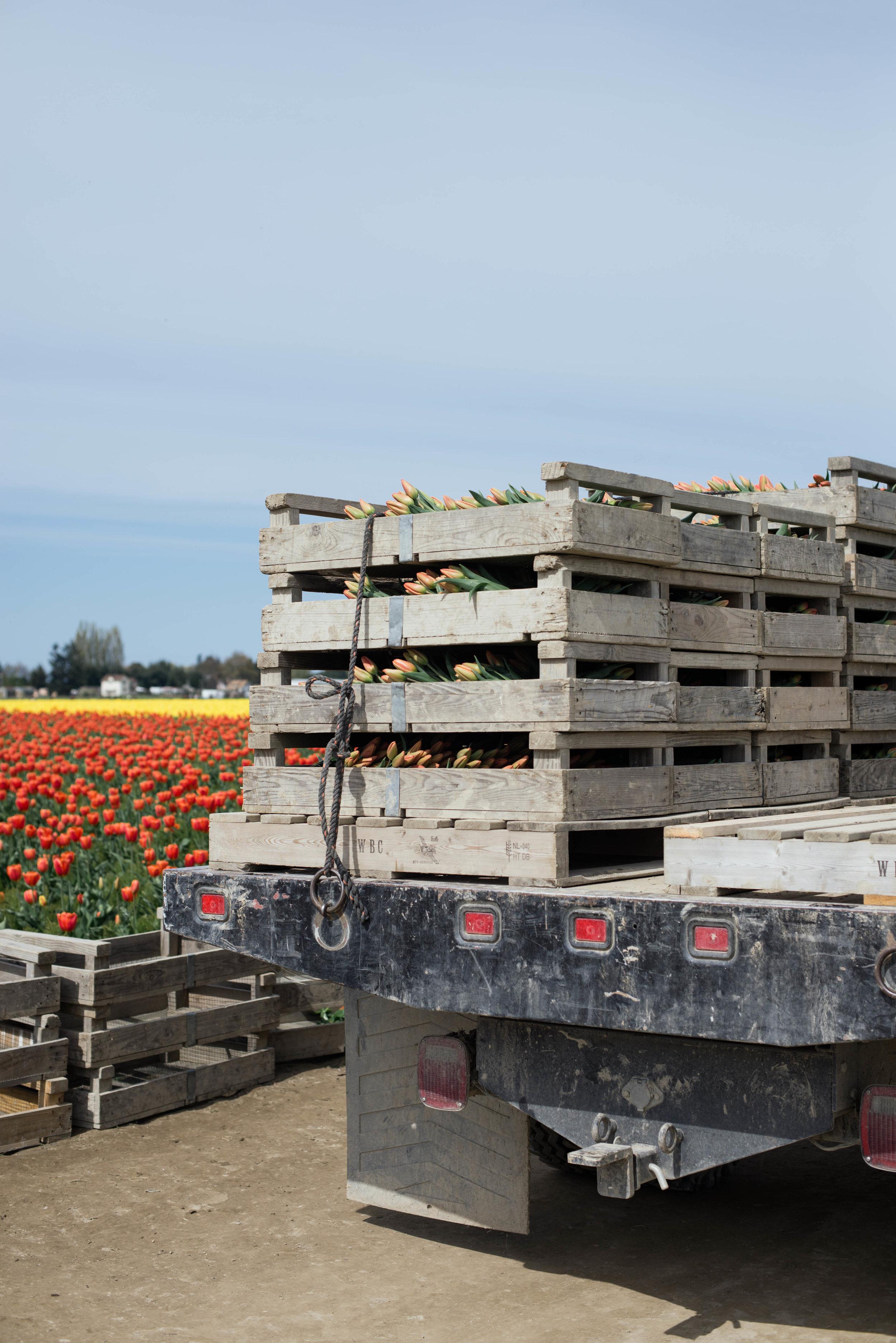 Tulips-35.jpg