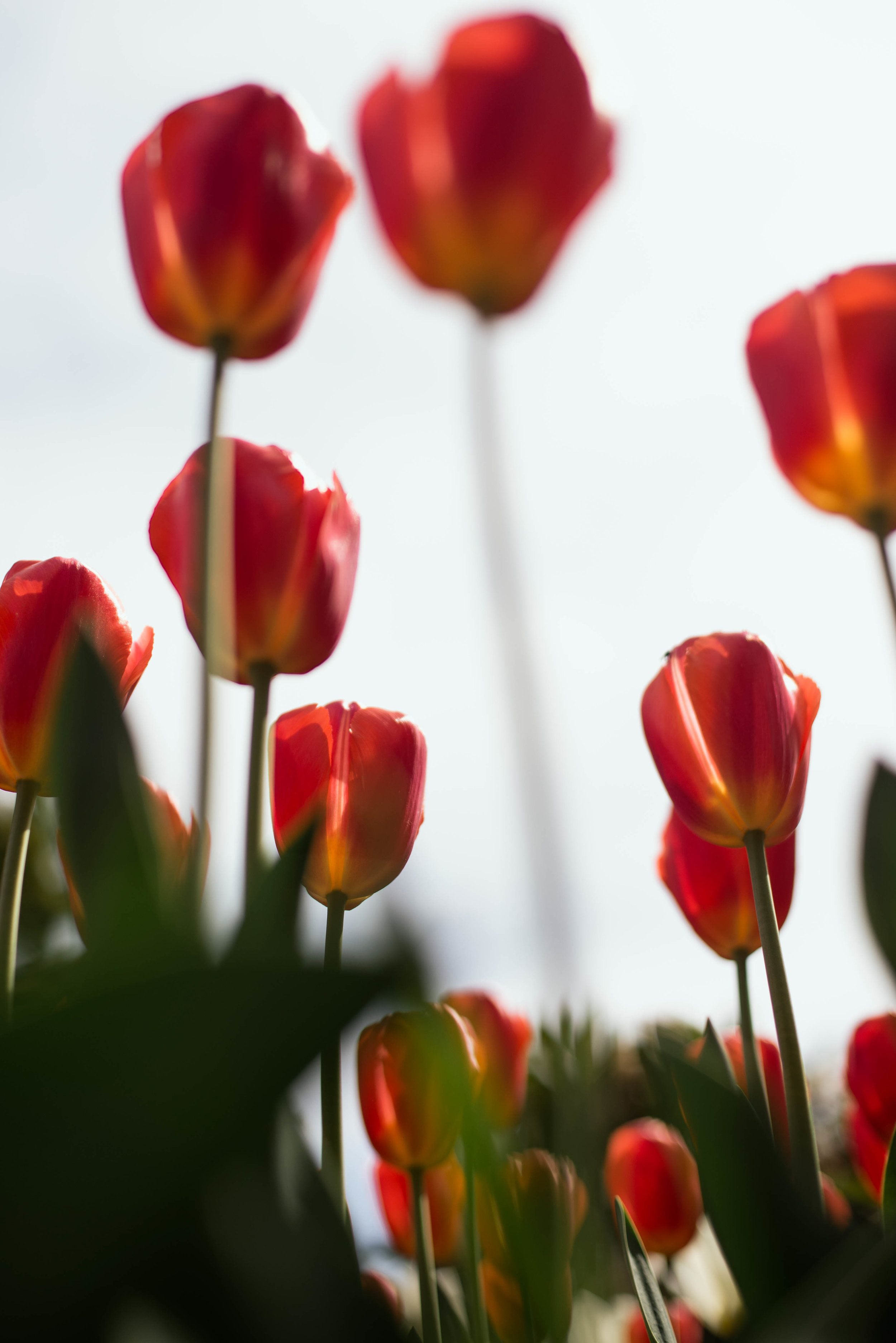 Tulips-46.jpg