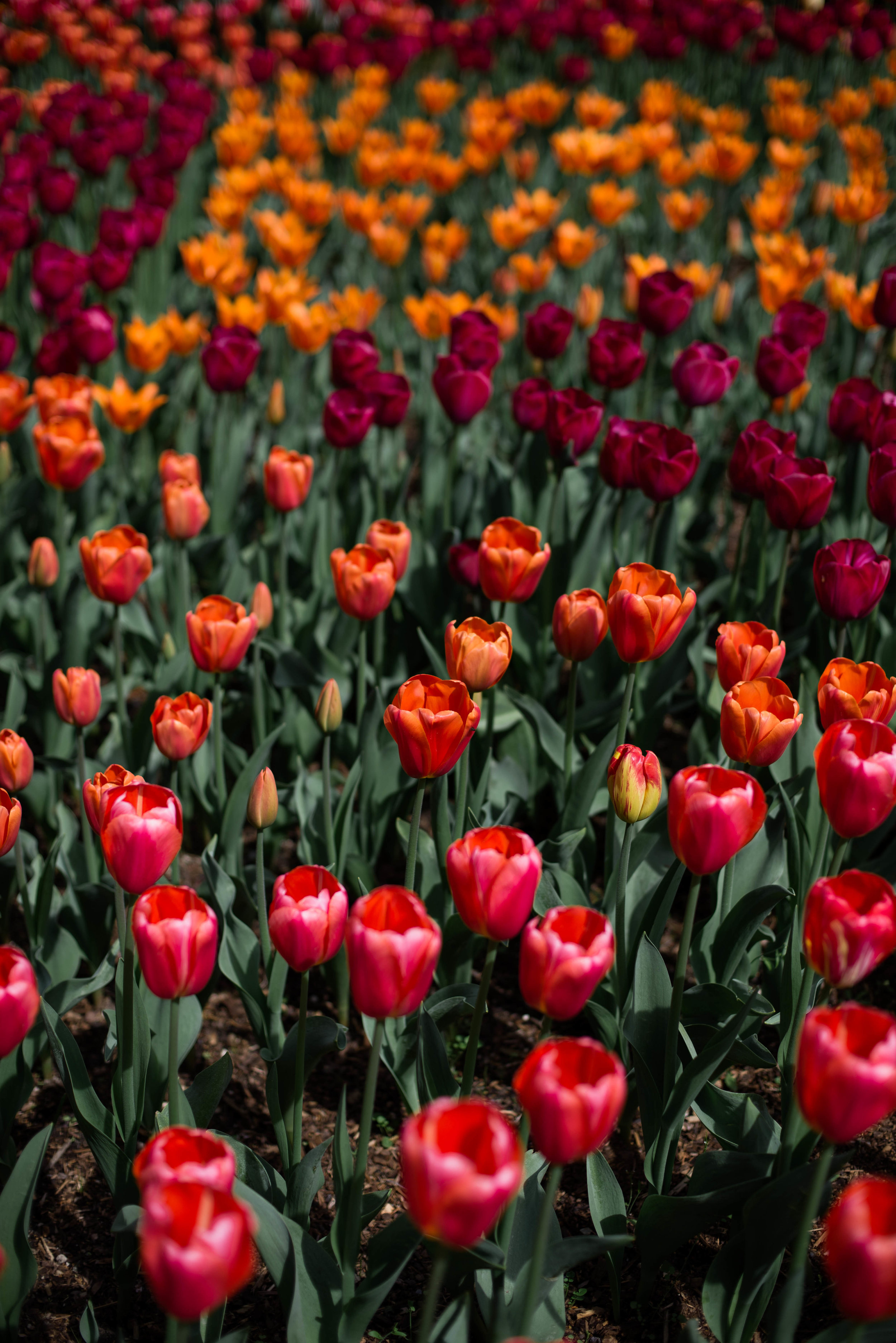 Tulips-47.jpg