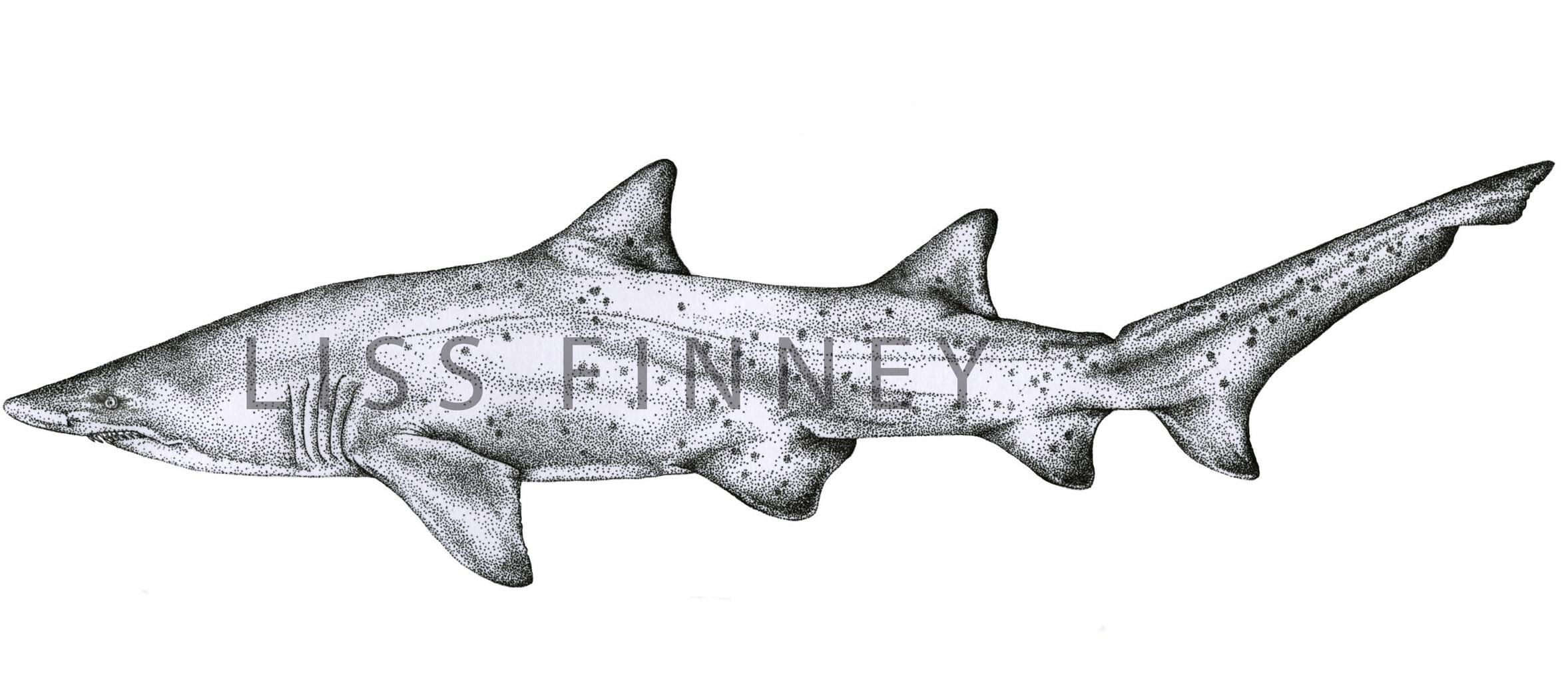 nurse-shark copy.jpg