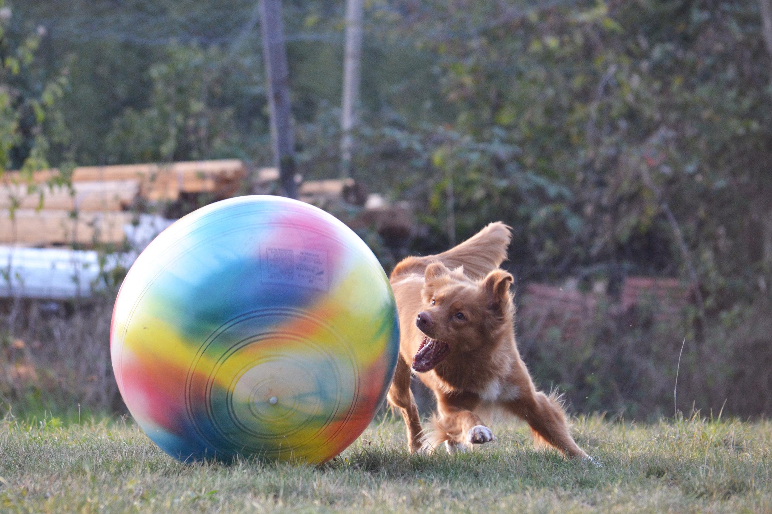 muzo-chien-lyon-treibball-miette-sport.jpg