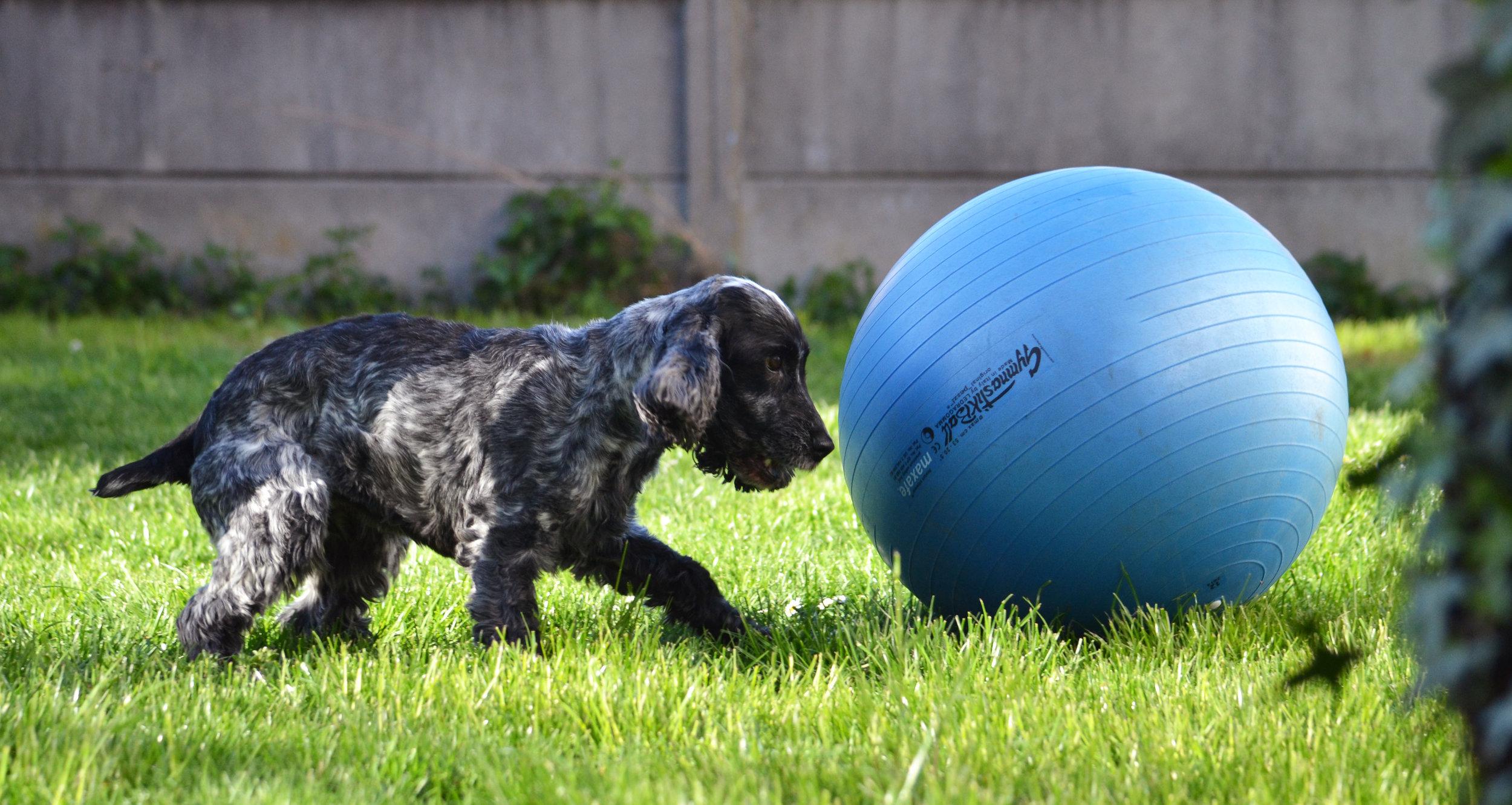 muzo-lyon-chien-treibball-sport-ballon-cerise.jpg