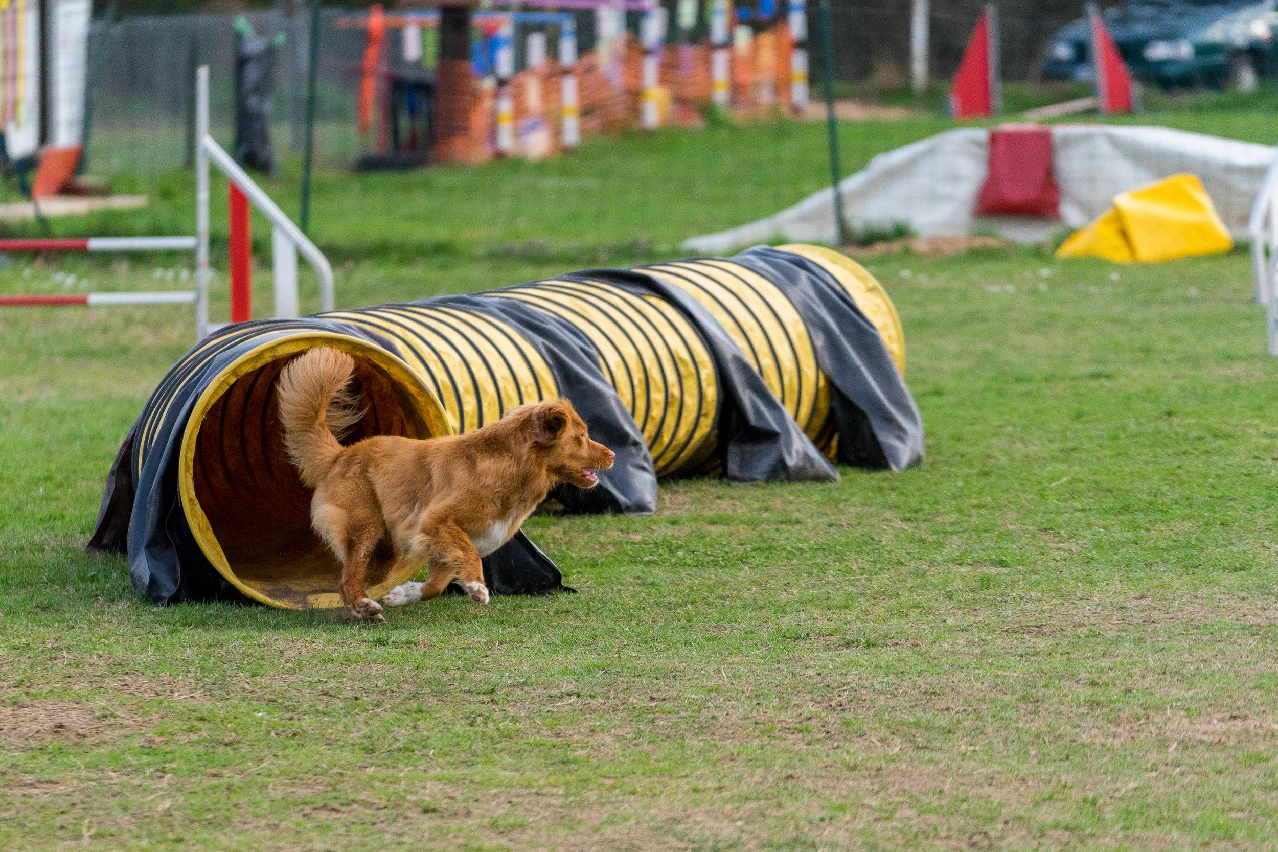 muzo-chien-lyon-agility-tunnel-miette.jpg