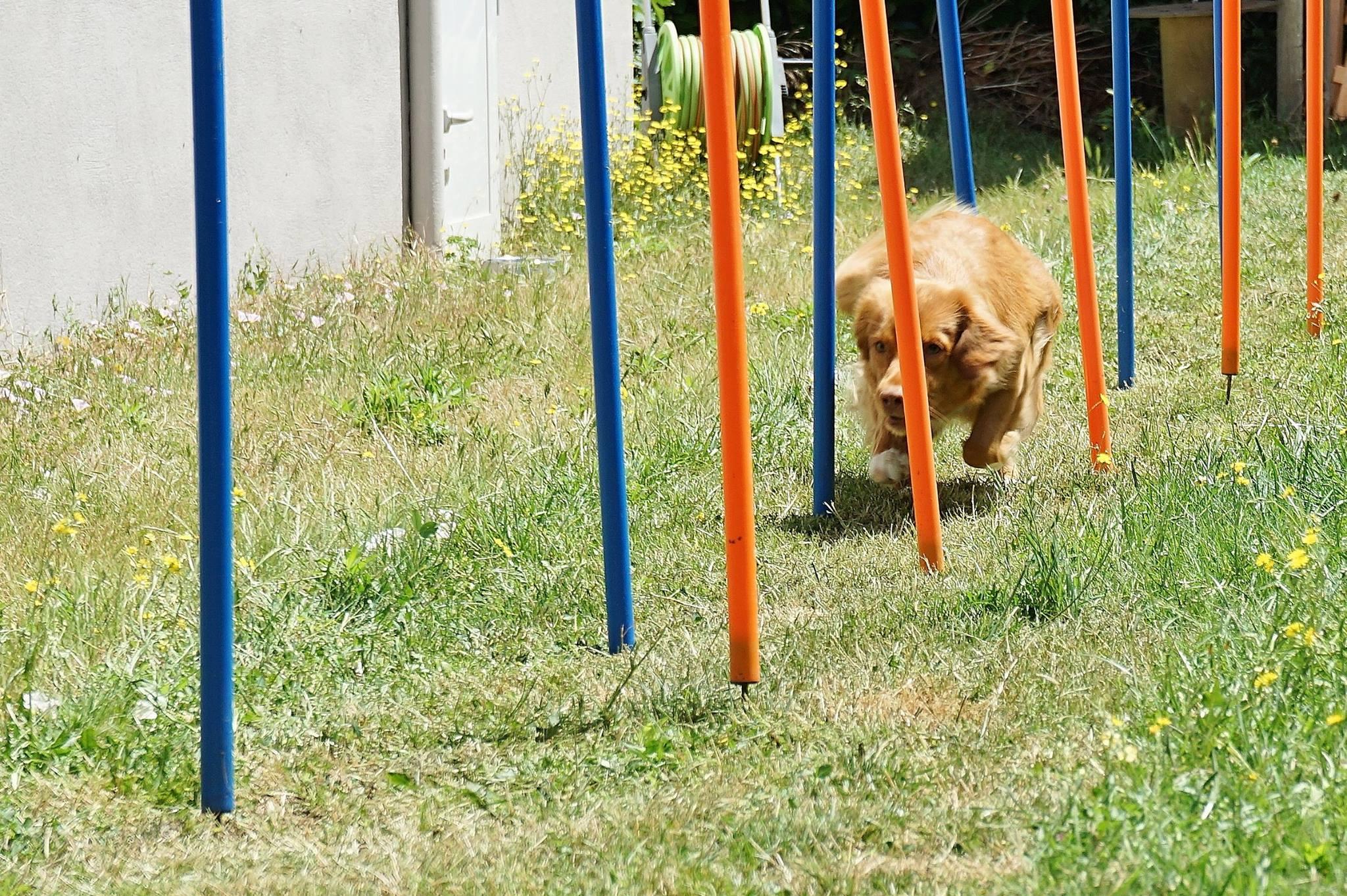 muzo-chien-lyon-agility-miette-slalom-couloir.jpg