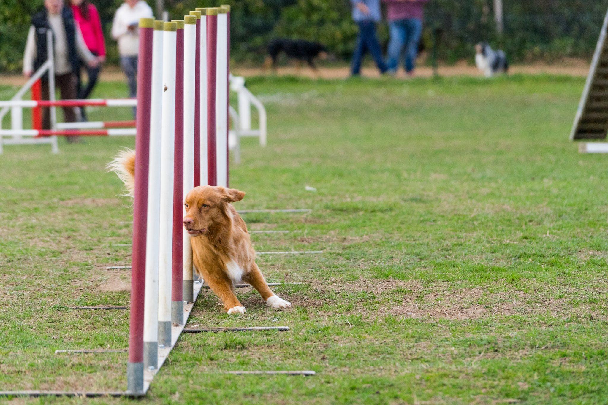 muzo-chien-lyon-agility-miette-slalom-competition.jpg