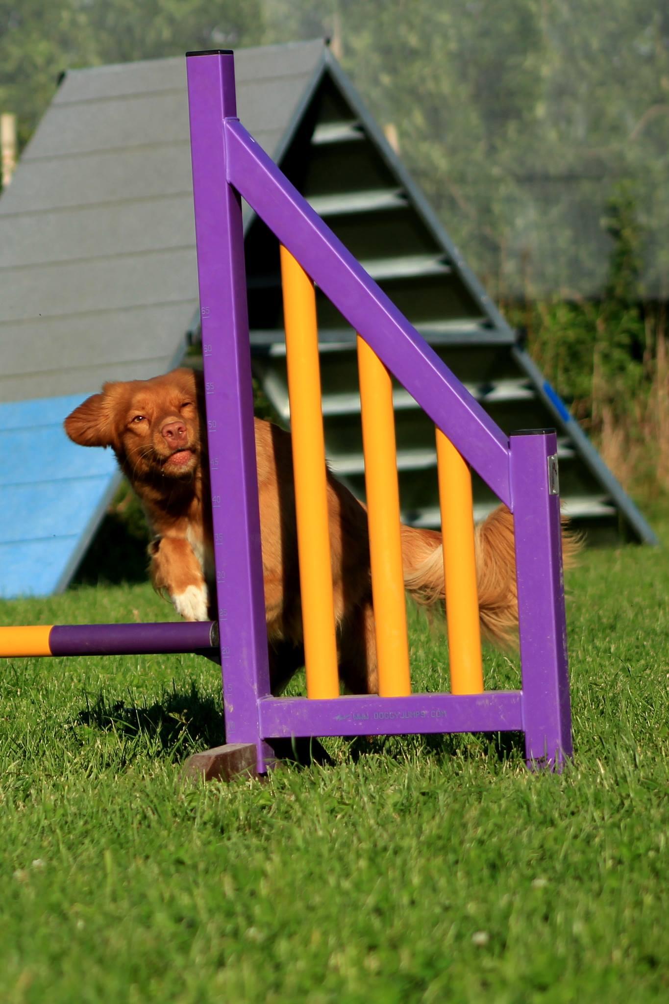 muzo-chien-lyon-agility-miette-saut-tic-tac.jpg
