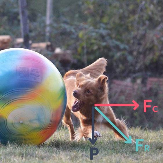 Bilan des forces sur le plan transverse lors d'un virage en Treibball : la force centrifuge Fc et le poids P résulte en une force Fc que Miette doit contrer en prenant d'abord appui sur l'antérieur externe au virage.