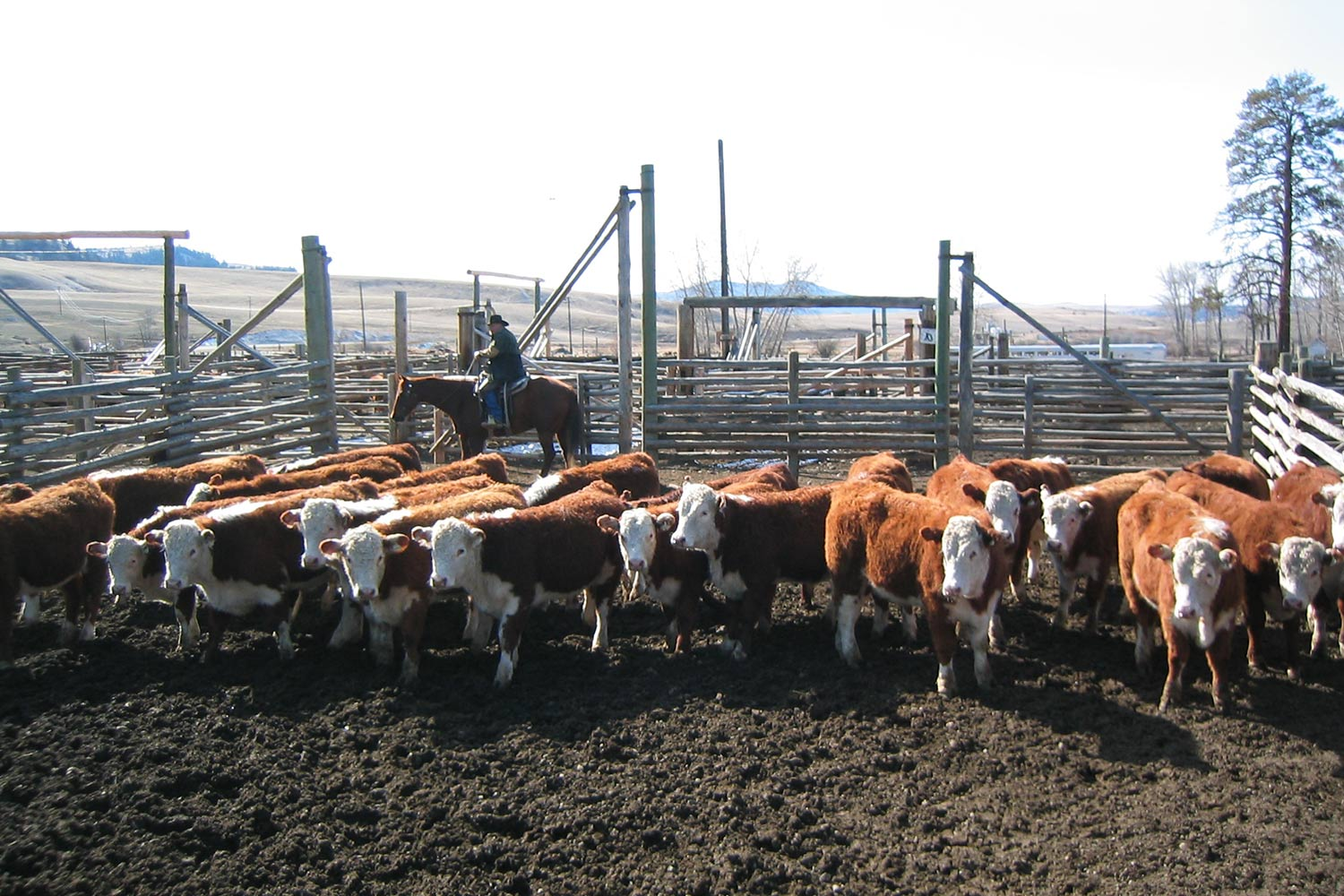 dlr-img-ops-cattle-1500x1000-5.jpg