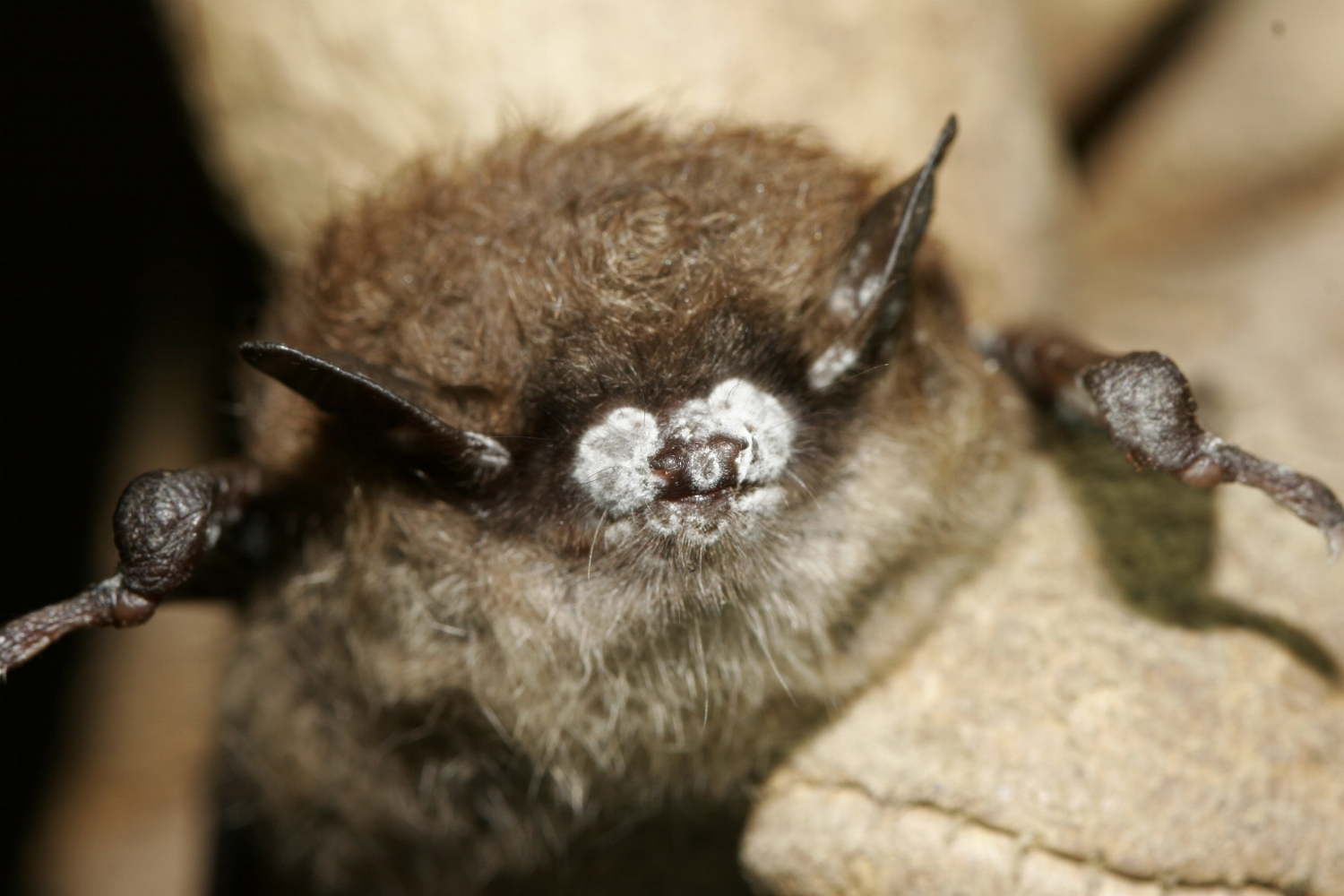 Bat infected with White Nose Syndrome