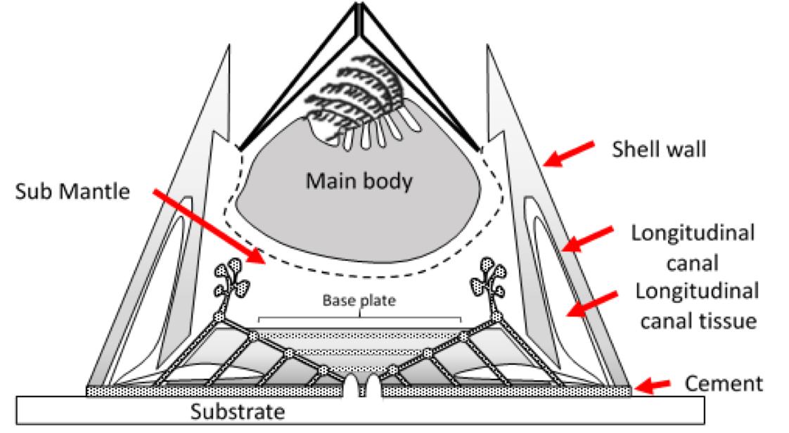Figure 1. Conceptual drawing of the anatomy of the barnacle, Balanus amphitrite.