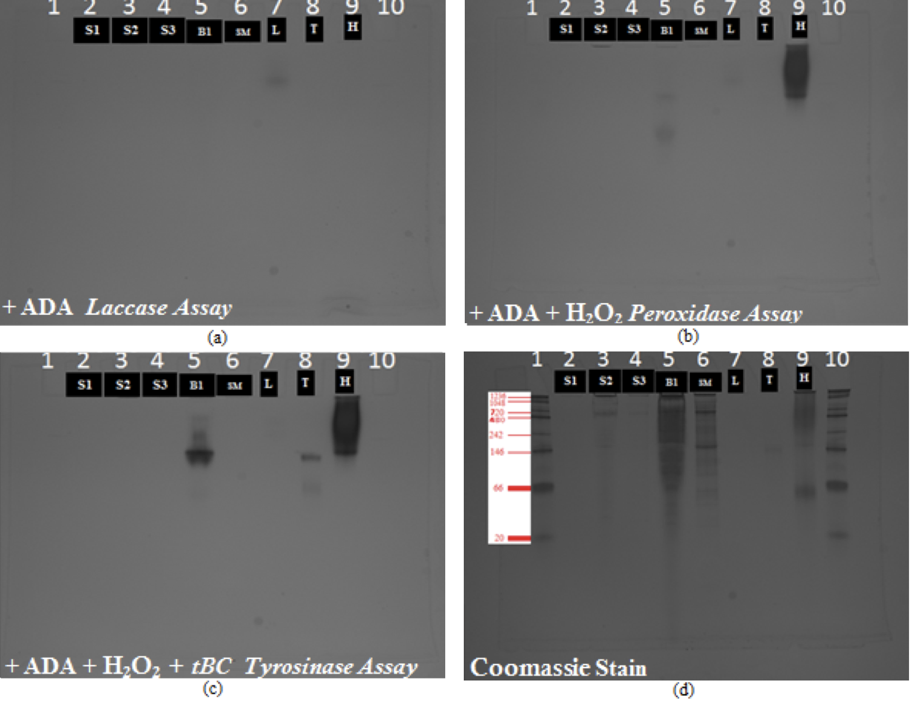 Figure 2. Native PAGE gels. S1, S2, S3: Longitudinal Canal lysate sample. B1: Barnacle body, SM: Sub mantle tissue. L: Laccase, T: Tyrosinase, H: HRP. a) First Step - Laccase activity assay via ADA substrate b) Second Step - HRP activity assay via H2O2 substrate c) Third Step - Tyrosinase activity assay via tBC d) Fourth Step - Coomassie blue stain