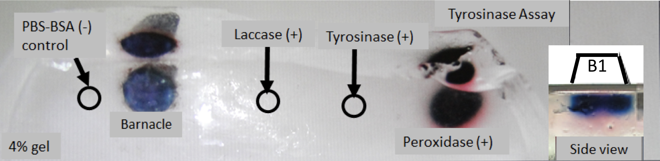 Figure 5. Tyrosinase assay, the third step of Rescigno et al.'s colorimetric assay on the 4% polyacrylamide gel. Bottom view of the gel, and the barnacle is shown as the blue circular object at the left. There are four positive and negative control injections. B1 is the side view of the barnacle.